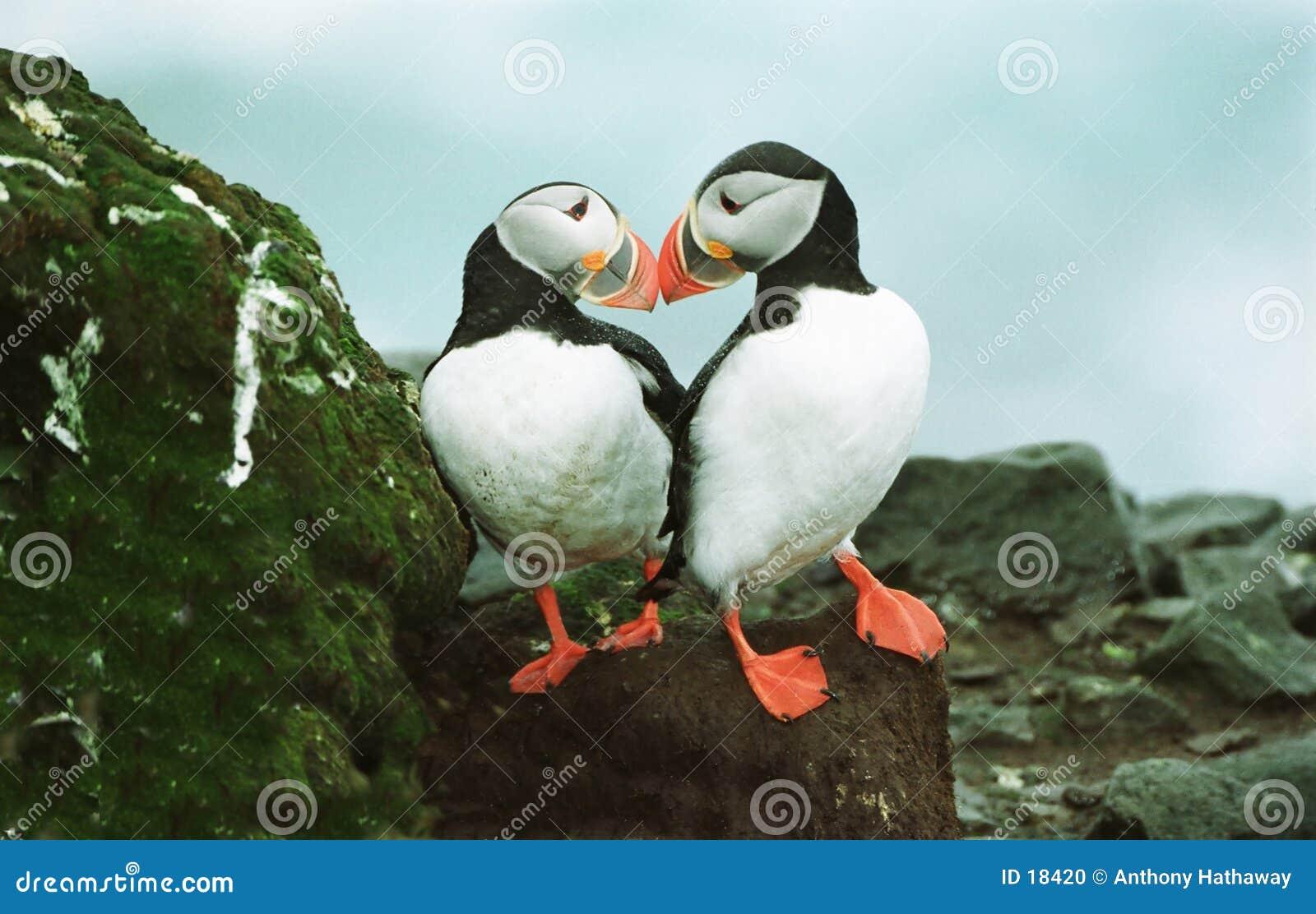 ατλαντικά puffins
