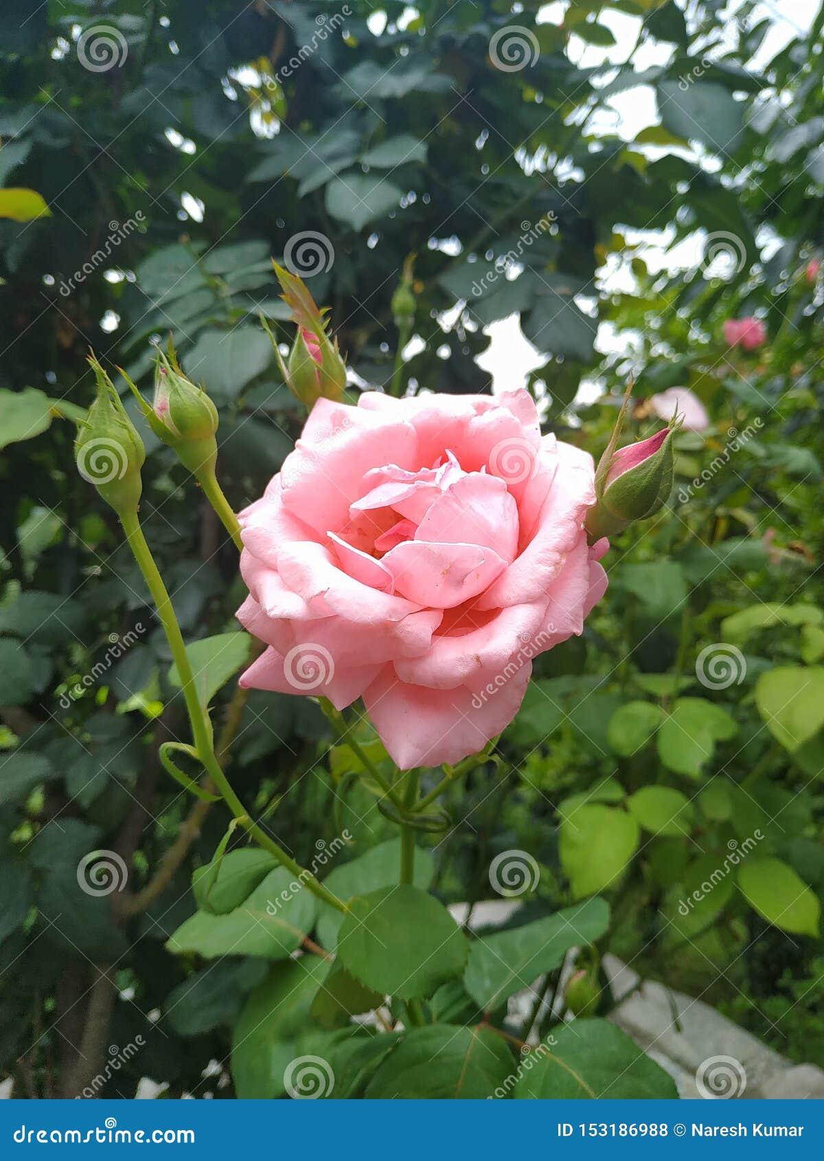 Αυξήθηκε λουλούδι στον κήπο και τις ανθίσεις και το όμορφο πέταλο
