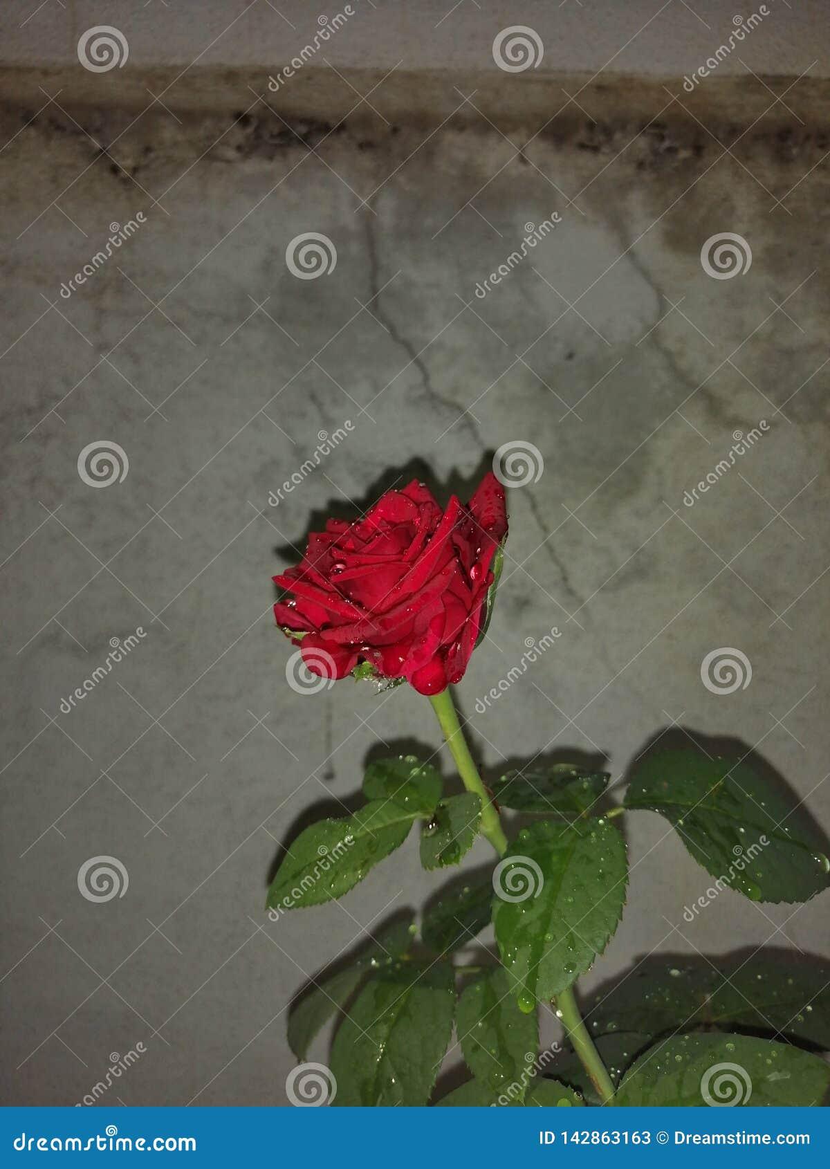 Αυξήθηκε οφειλόμενο κόκκινο λουλουδιών