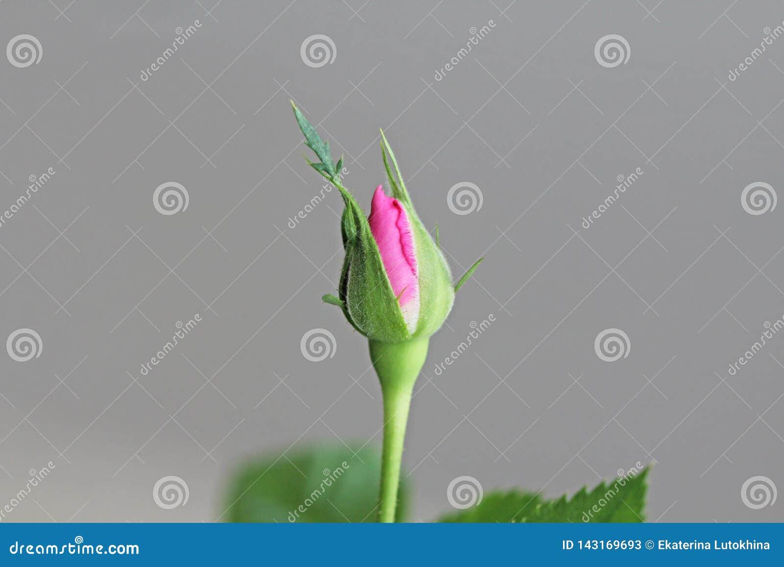 Αυξήθηκε το λουλούδι κλειστό αυξήθηκε οφθαλμός σε ένα υπόβαθρο των πράσινων φύλλων 9 πολύχρωμες εικόνες διάθεσης που τίθενται τις