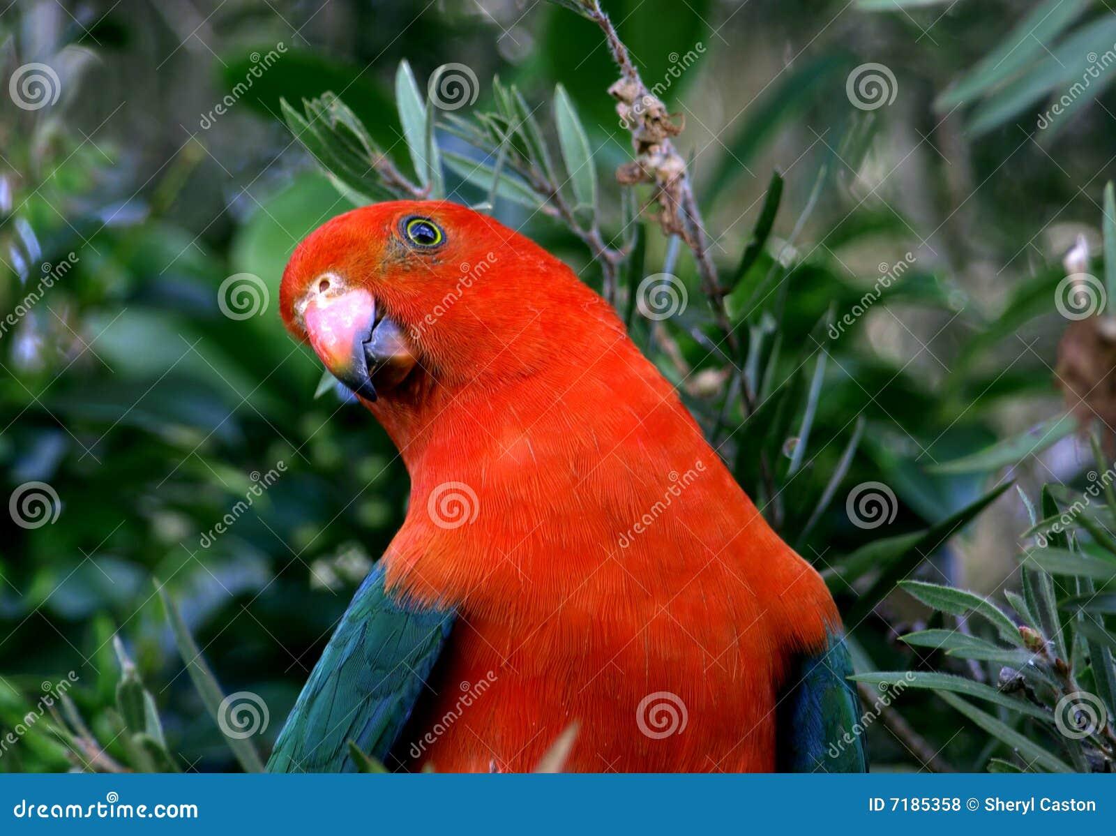αυστραλιανά scapularis παπαγάλων &b