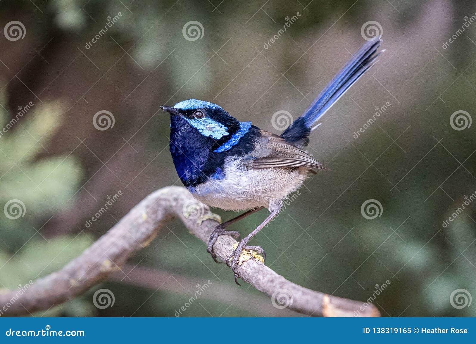 Αυστραλιανή μπλε θαυμάσια συνεδρίαση Wren νεράιδων σε έναν κλάδο