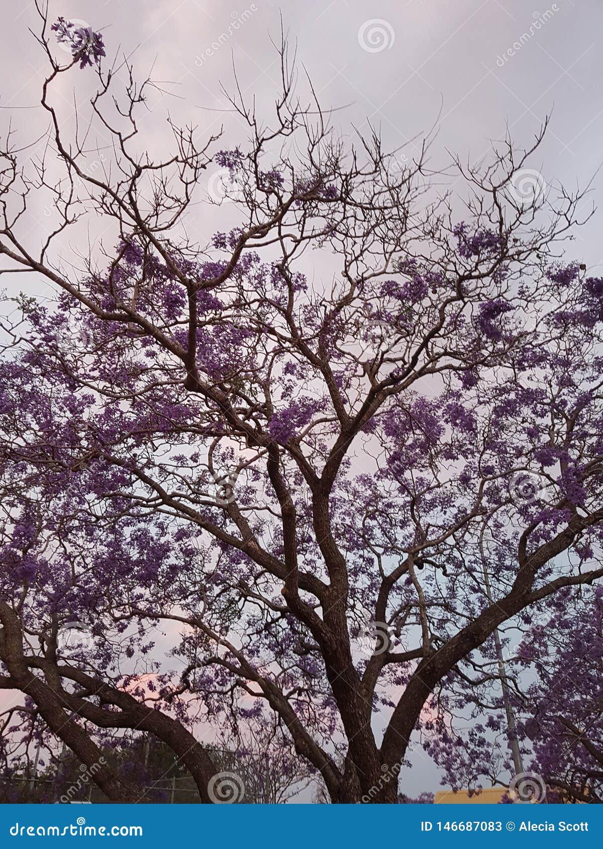 Αυστραλιανό πορφυρό δέντρο Jacaranda στο ηλιοβασίλεμα