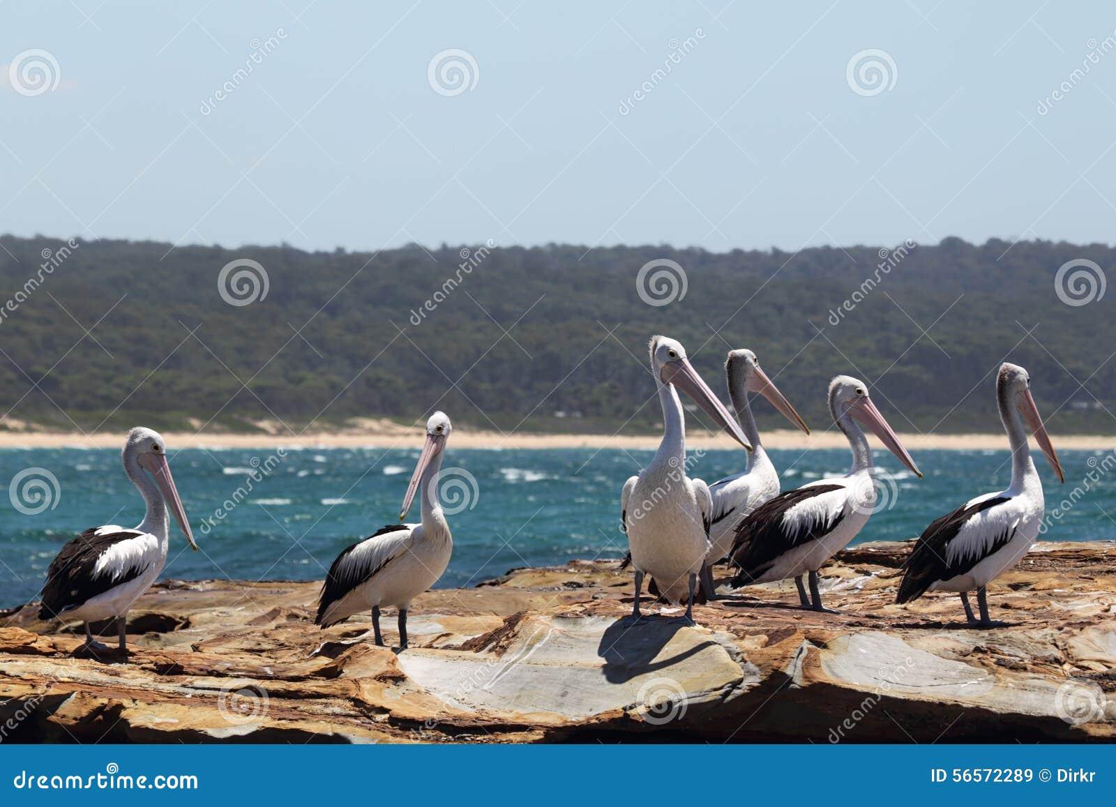 Download αυστραλιανοί πελεκάνοι Pelecanus Conspicillatus Στοκ Εικόνα - εικόνα από birdbaths, πελεκάνος: 56572289