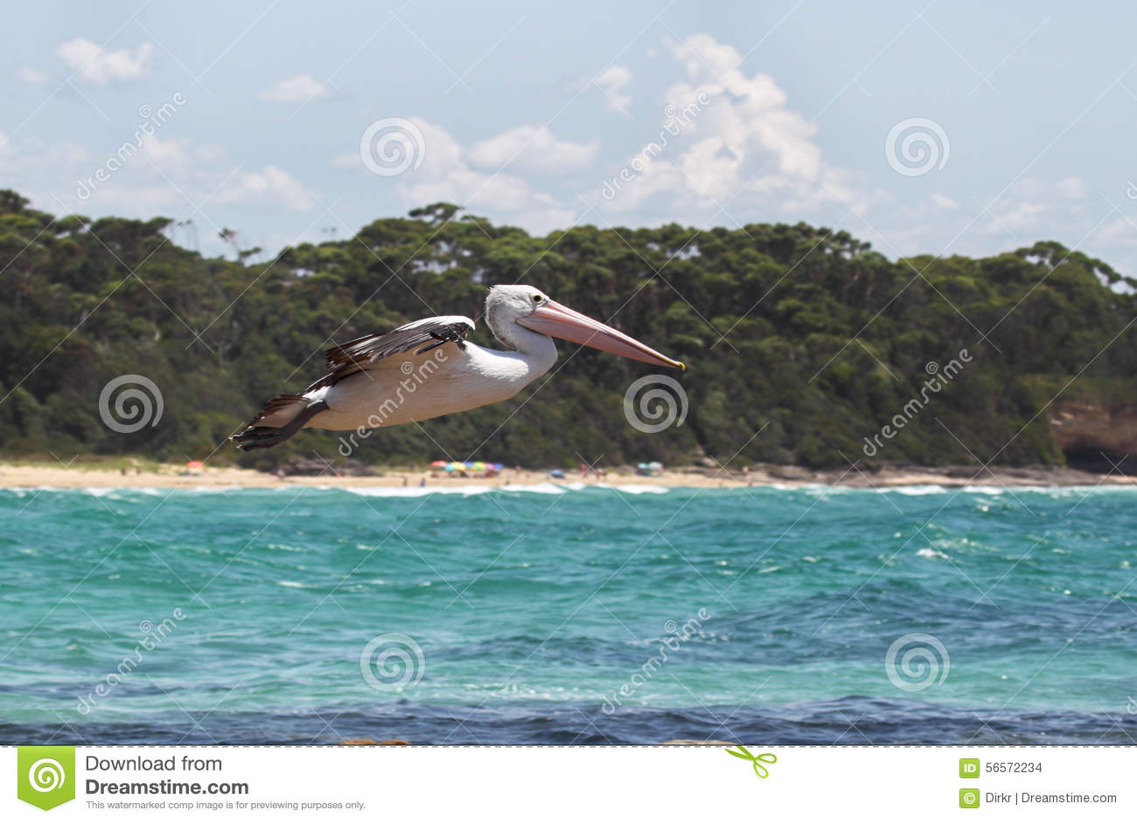 Download αυστραλιανός πελεκάνο&si στοκ εικόνες. εικόνα από μεγάλος - 56572234