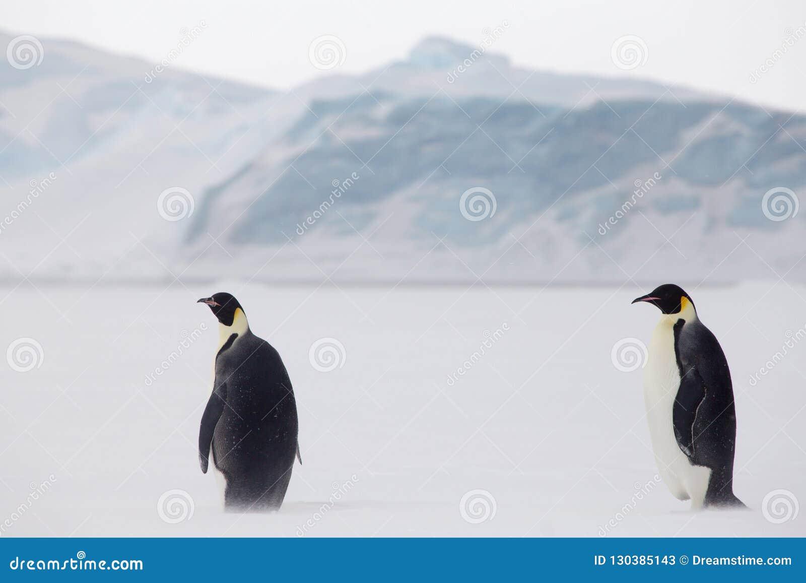 Αυτοκράτορας penguins στη θάλασσα weddel