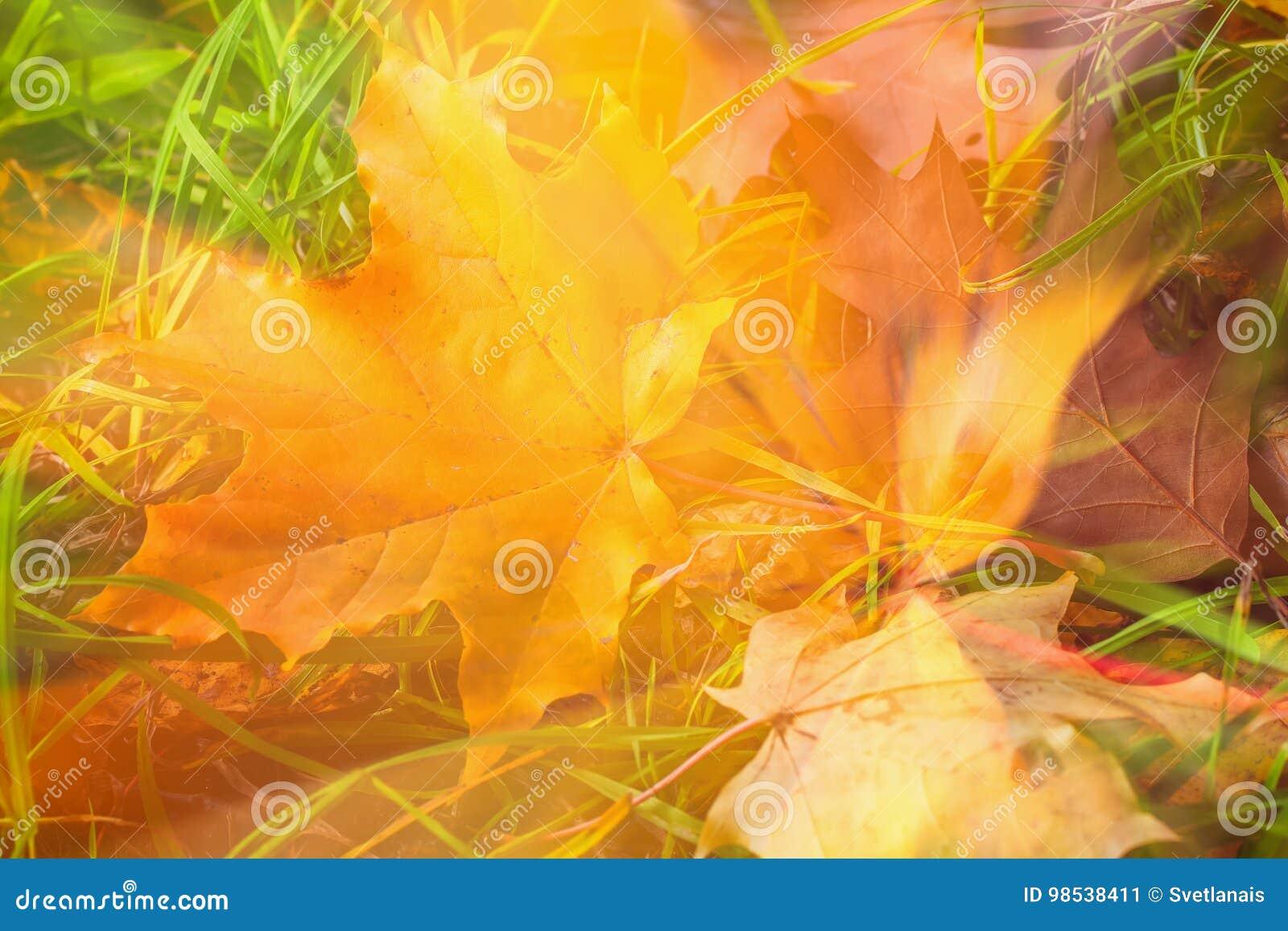 αφηρημένη ανασκόπηση φθινοπώρου Θολωμένο πεσμένο ζωηρόχρωμο φύλλο φθινοπώρου του σφενδάμνου στη χλόη, φυσική τέχνη πτώσης