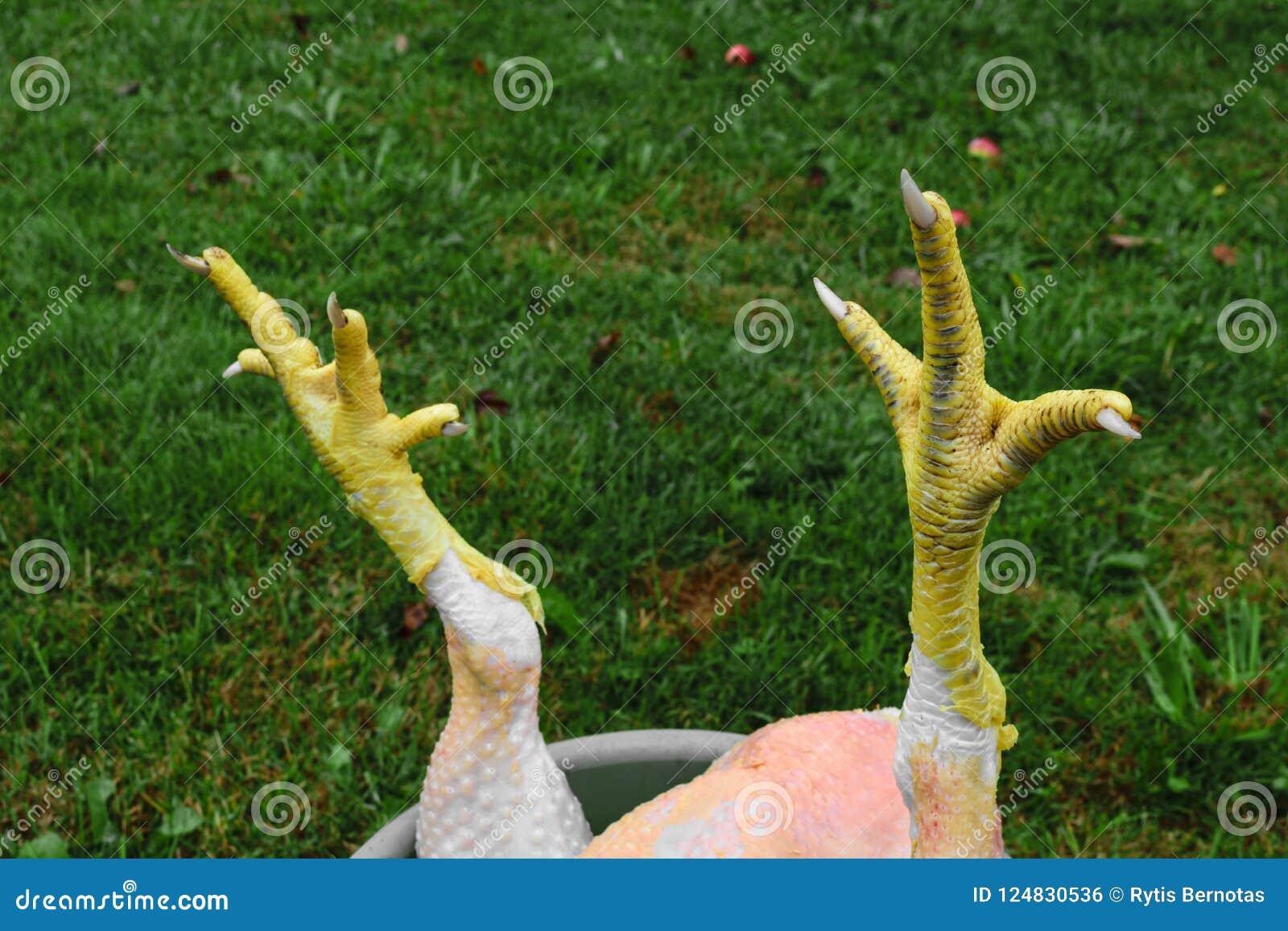 Αφηρημένη σύνθεση των κίτρινων νυχιών κοτόπουλου μπροστά από το πράσινο υπόβαθρο χλόης