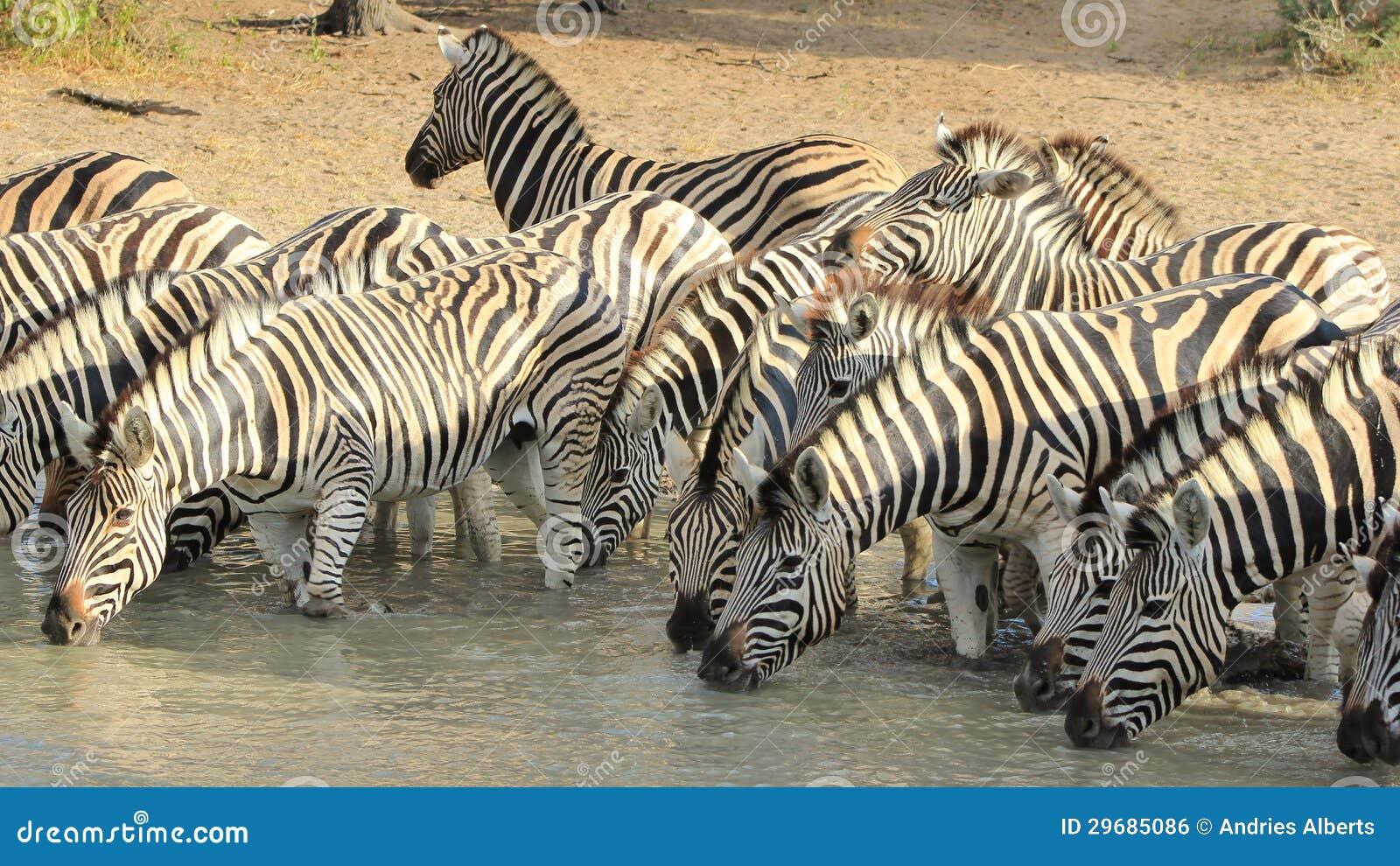 Αφρικανική άγρια φύση - ζέβρα, ριγωτή οικογενειακή φωτογραφία