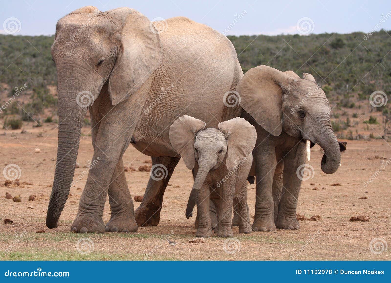 αφρικανικός ελέφαντας μω