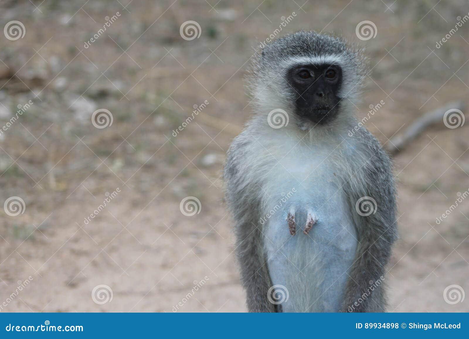 Αφρικανικός πίθηκος Vervet
