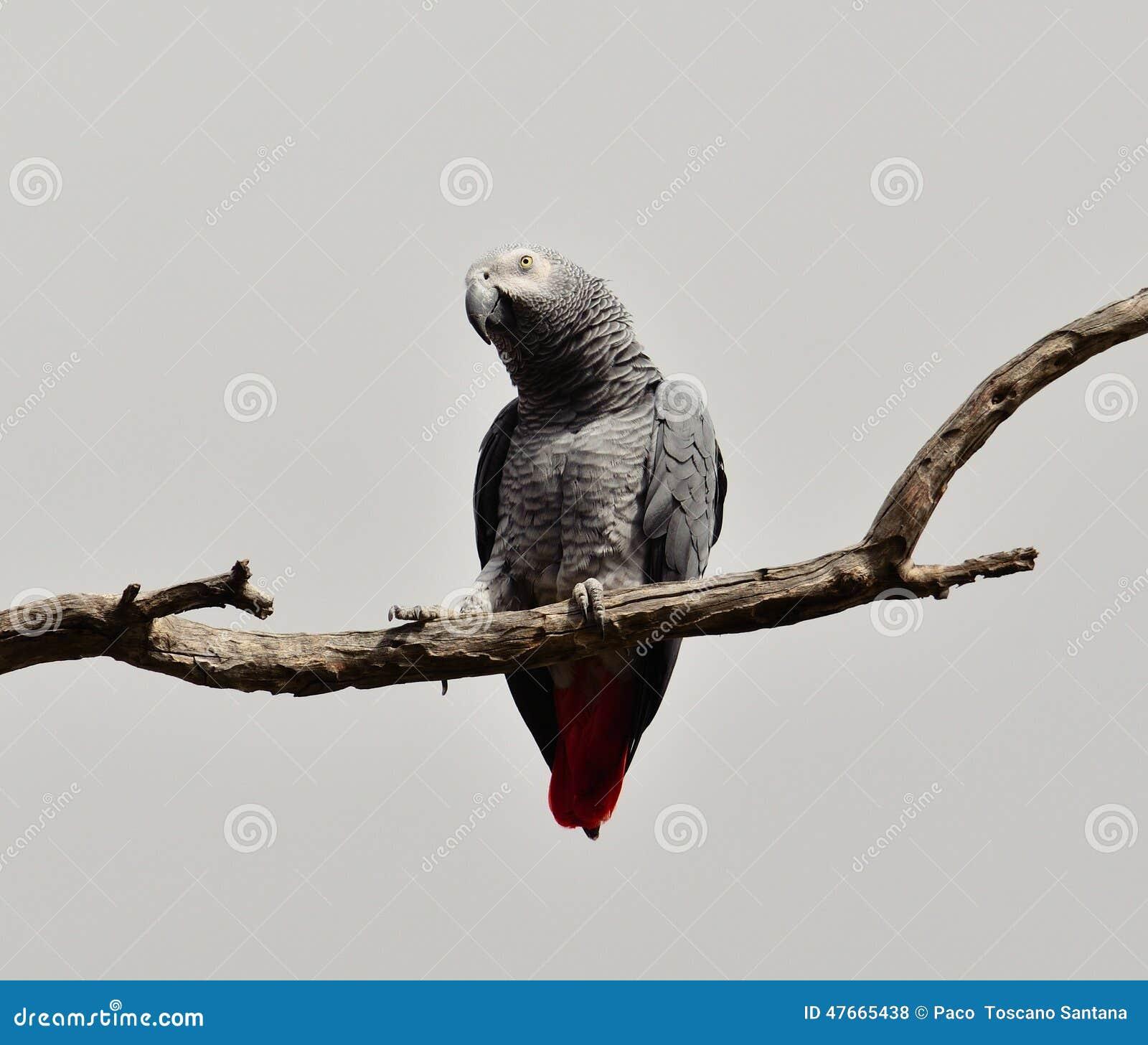 Αφρικανικός παπαγάλος της κόκκινης ουράς
