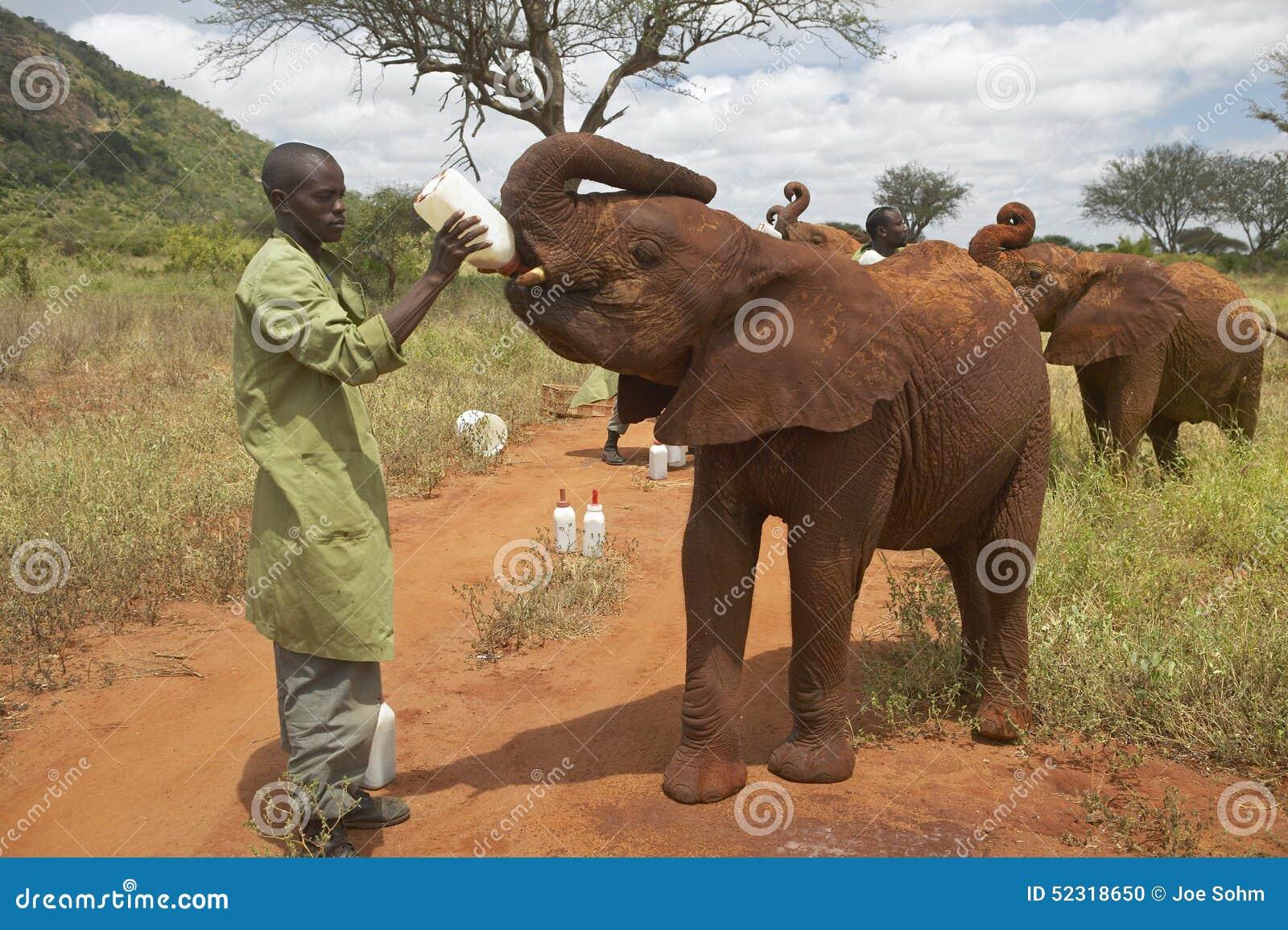 Αφρικανικό γάλα σίτισης φυλάκων ελεφάντων στους υιοθετημένους αφρικανικούς ελέφαντες μωρών στο Δαβίδ Sheldrick Wildlife Trust στη