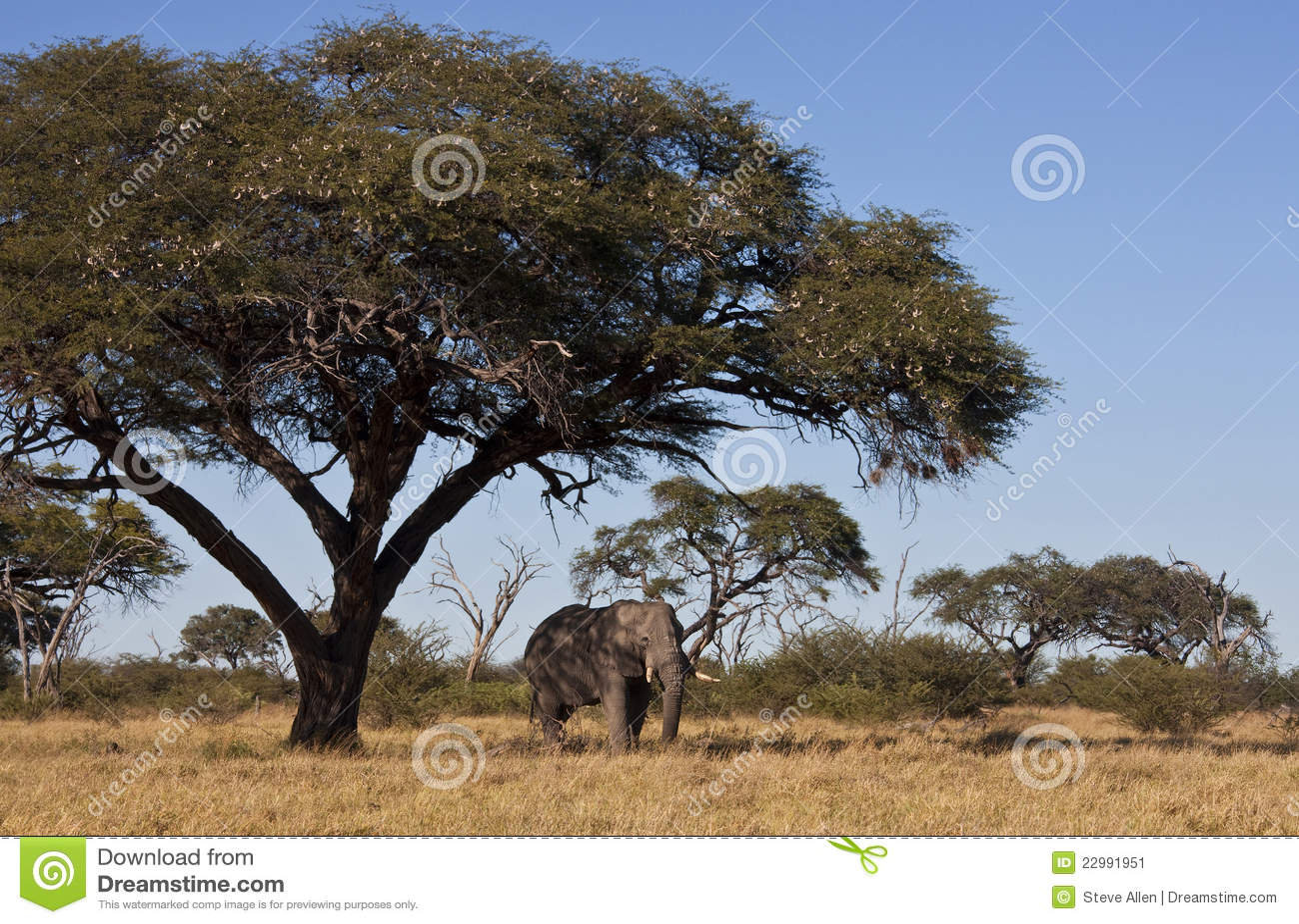αφρικανικό δέντρο ελεφάντων της Μποτσουάνα ακακιών κάτω
