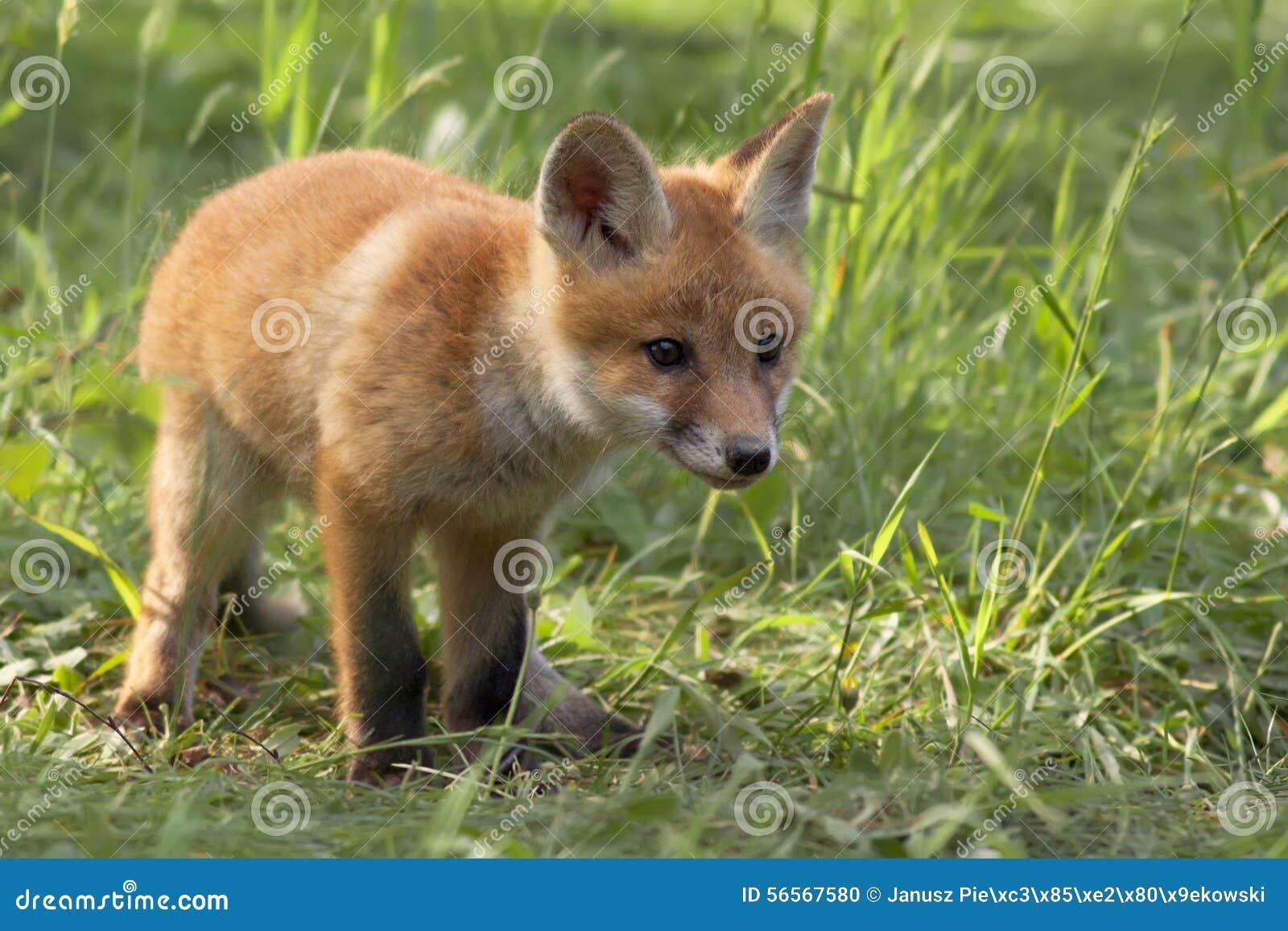 Download Αλεπού στις άγρια περιοχές στοκ εικόνες. εικόνα από θηλαστικά - 56567580