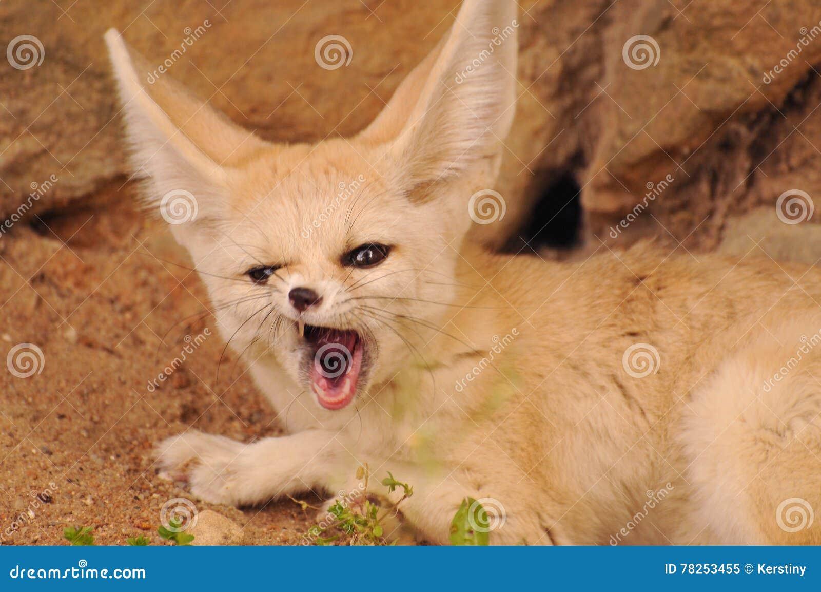 Αλεπού Fennec