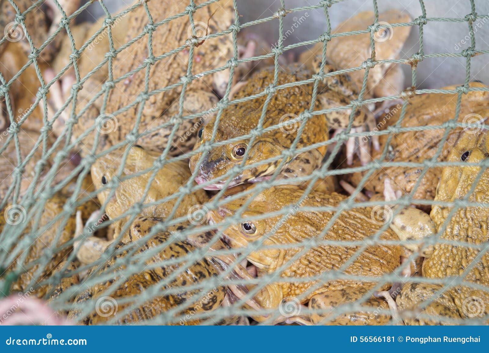 Download Βάτραχοι σε ένα δίχτυ στοκ εικόνα. εικόνα από βάτραχοι - 56566181