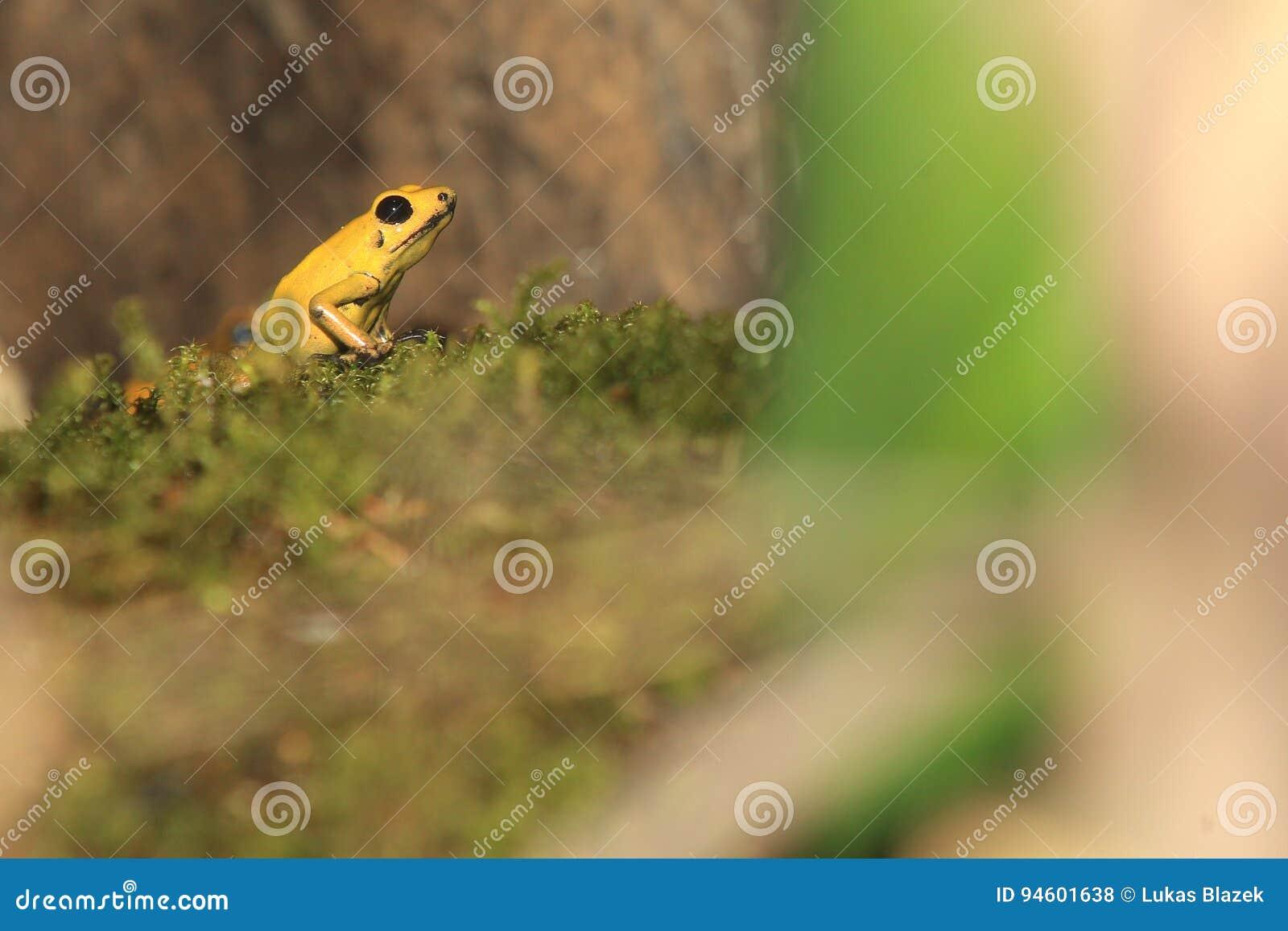 Βάτραχος βελών δηλητήριων Bicolored