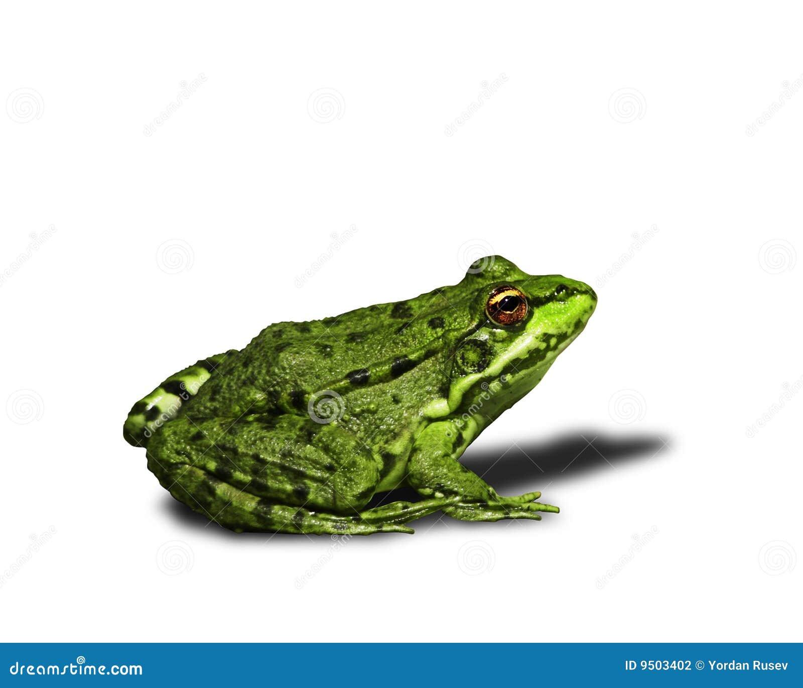 βάτραχος πράσινος