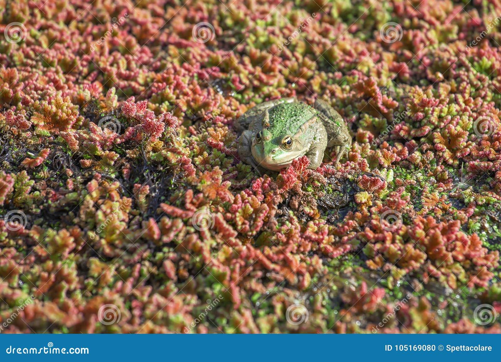 Βάτραχος στο φυκώδη αφρό, θολωμένες υδρόβιες εγκαταστάσεις