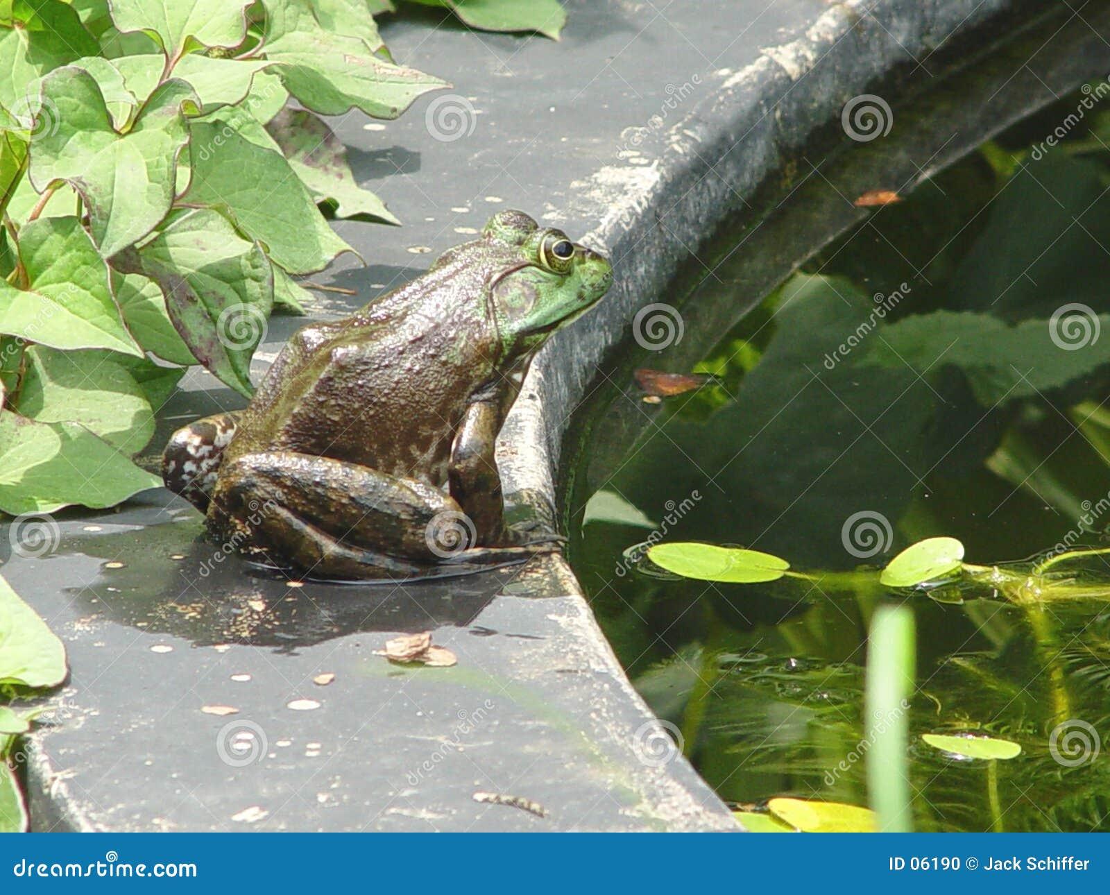 βάτραχος ταύρων