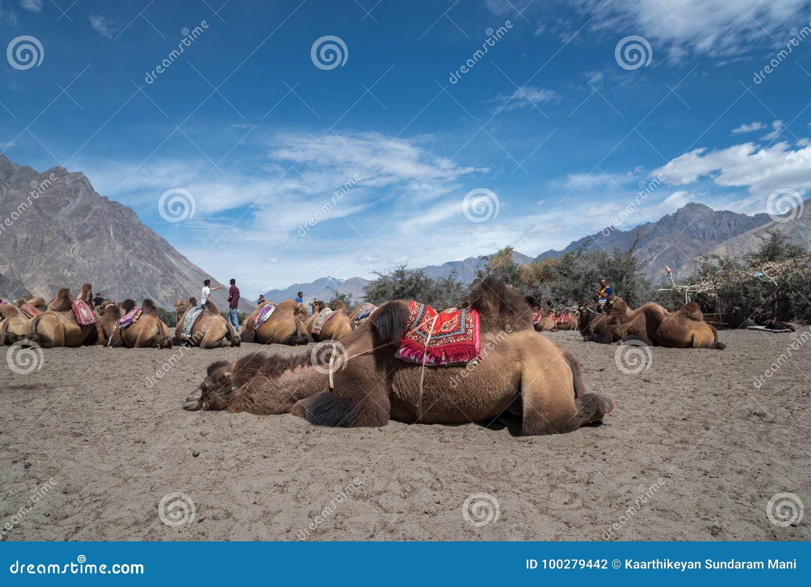 Βακτριανή καμήλα στην κοιλάδα Nubra, Ινδία