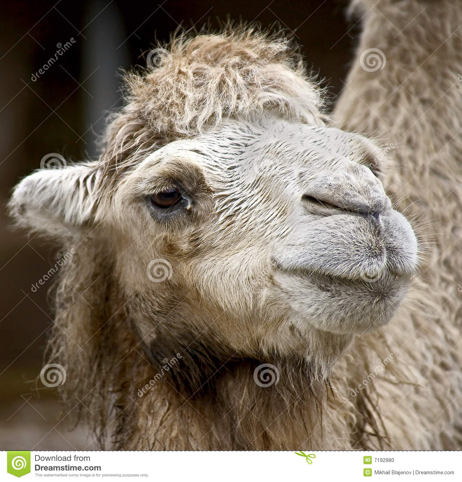 βακτριανή καμήλα 9