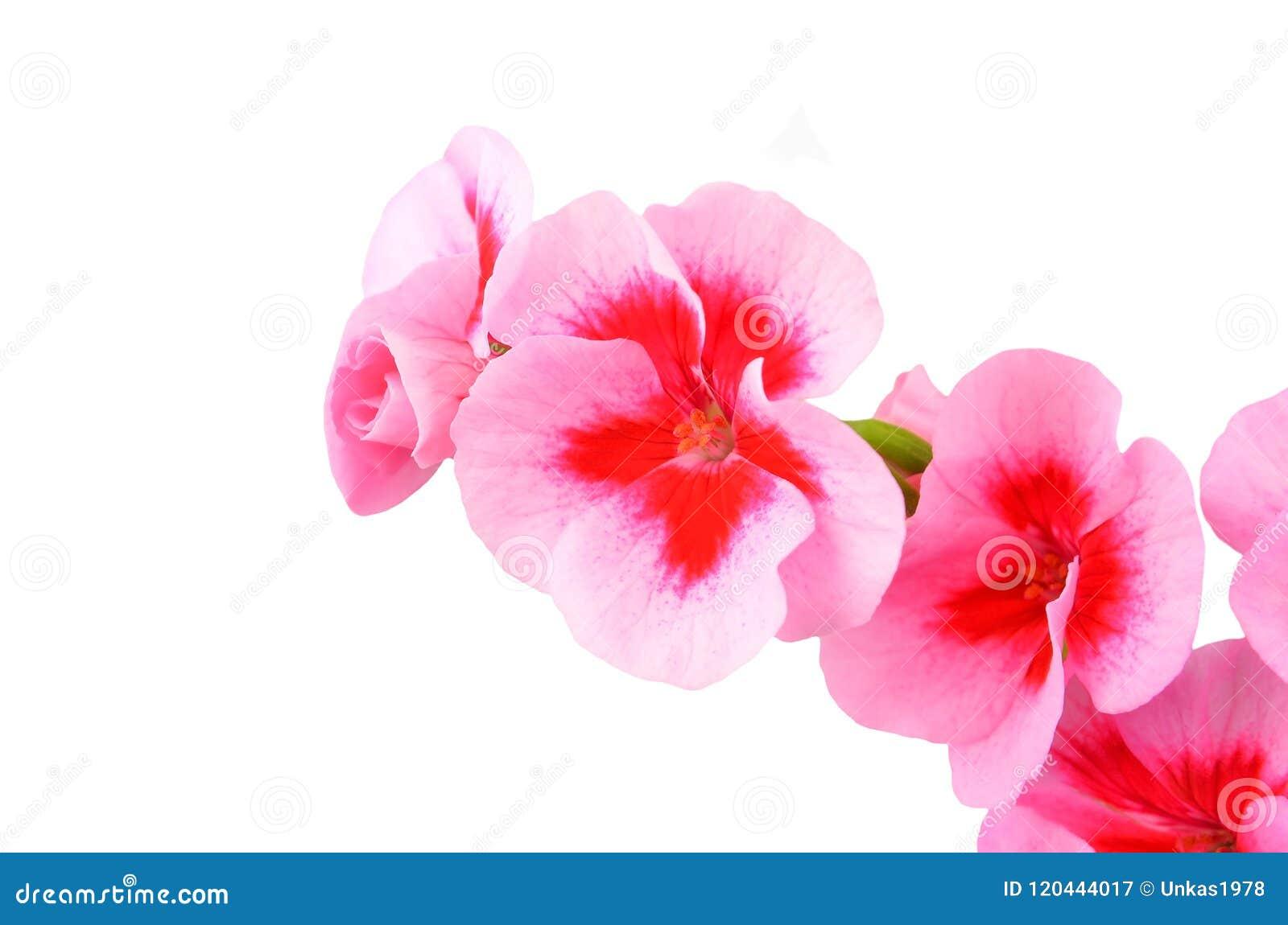 Βαλσαμώδες λουλούδι γερανιών