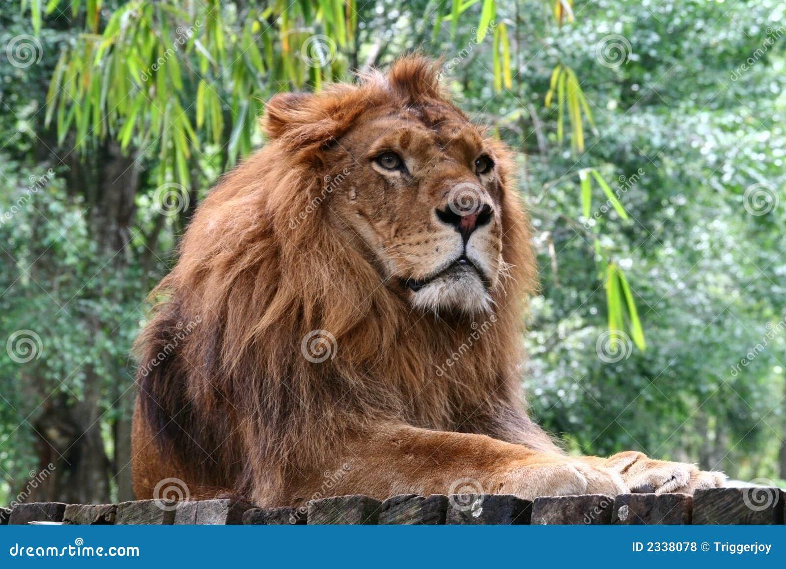 βασιλιάς ζουγκλών