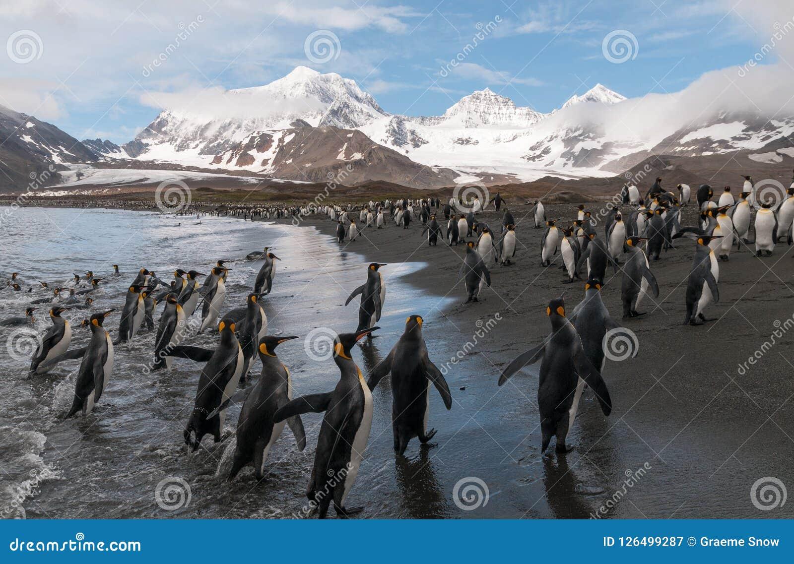 Βασιλιάς Penguins στην παραλία, κόλπος του ST Andrews, νότια Γεωργία