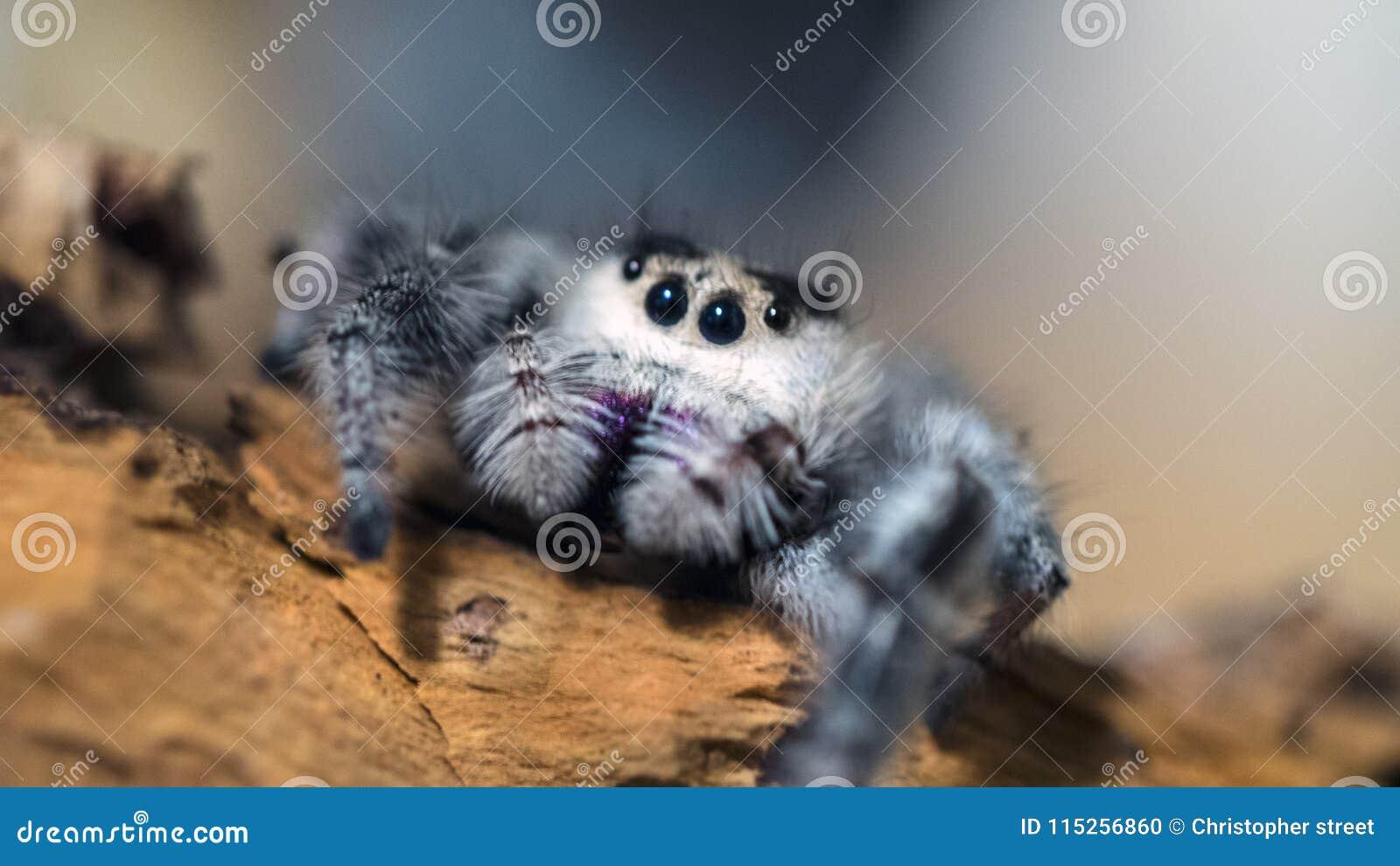 Βασιλοπρεπής αράχνη άλματος