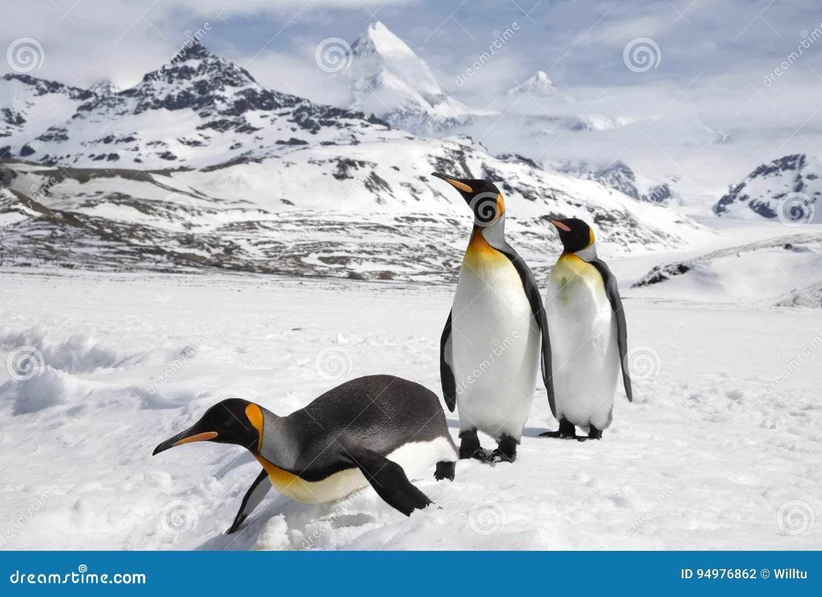 Βασιλιάς τρία penguins στο χιόνι στο νησί της νότιας Γεωργίας