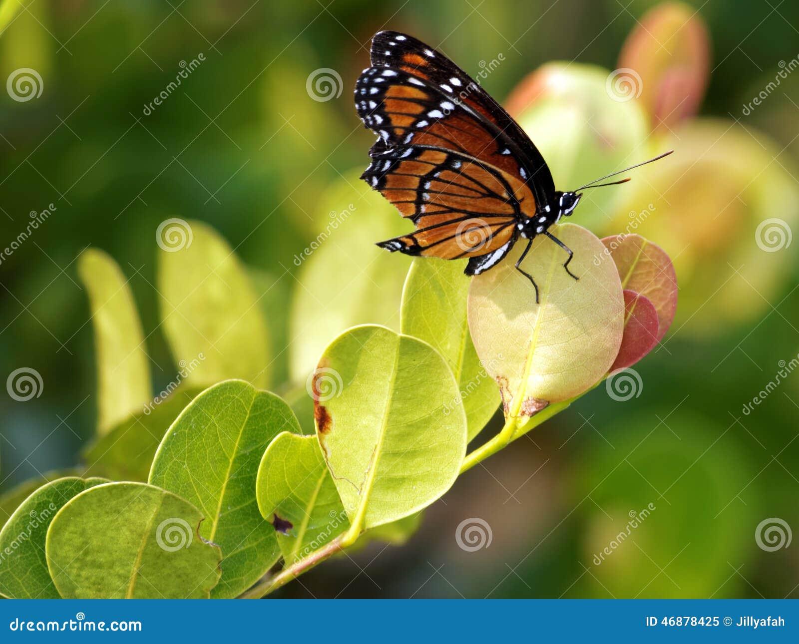 Βασιλοπρεπής πεταλούδα μοναρχών