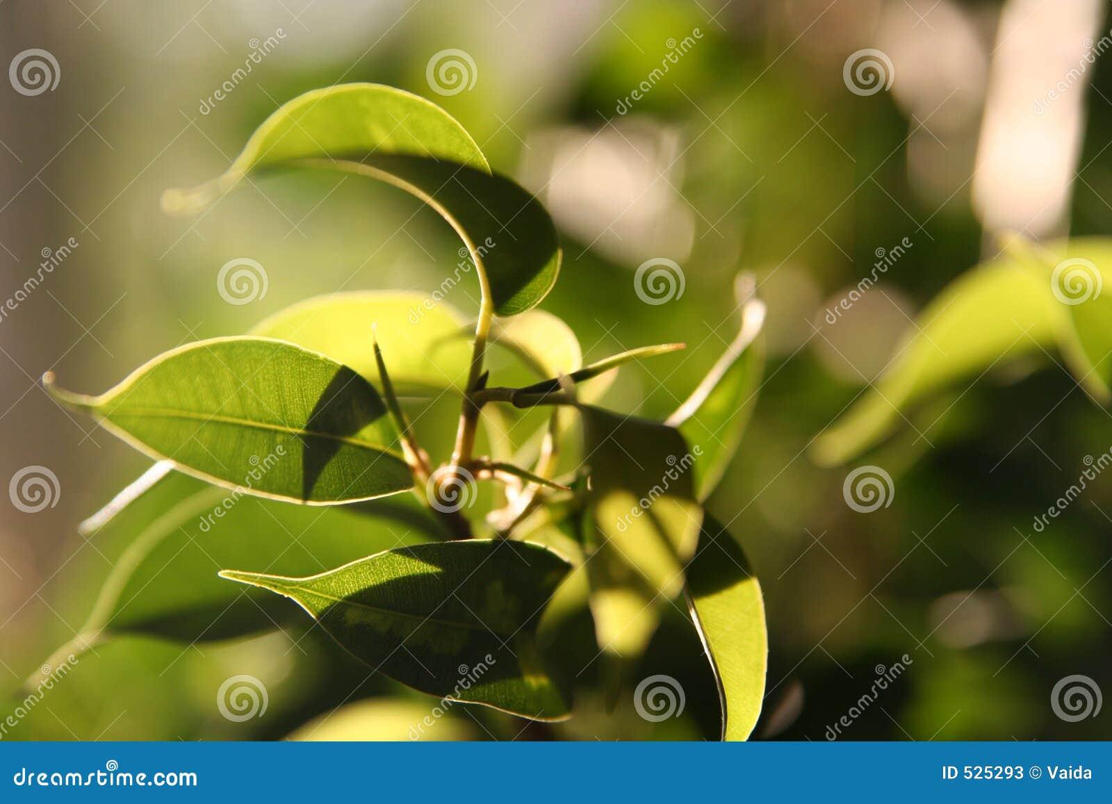 βγάζει φύλλα ηλιοφώτιστο