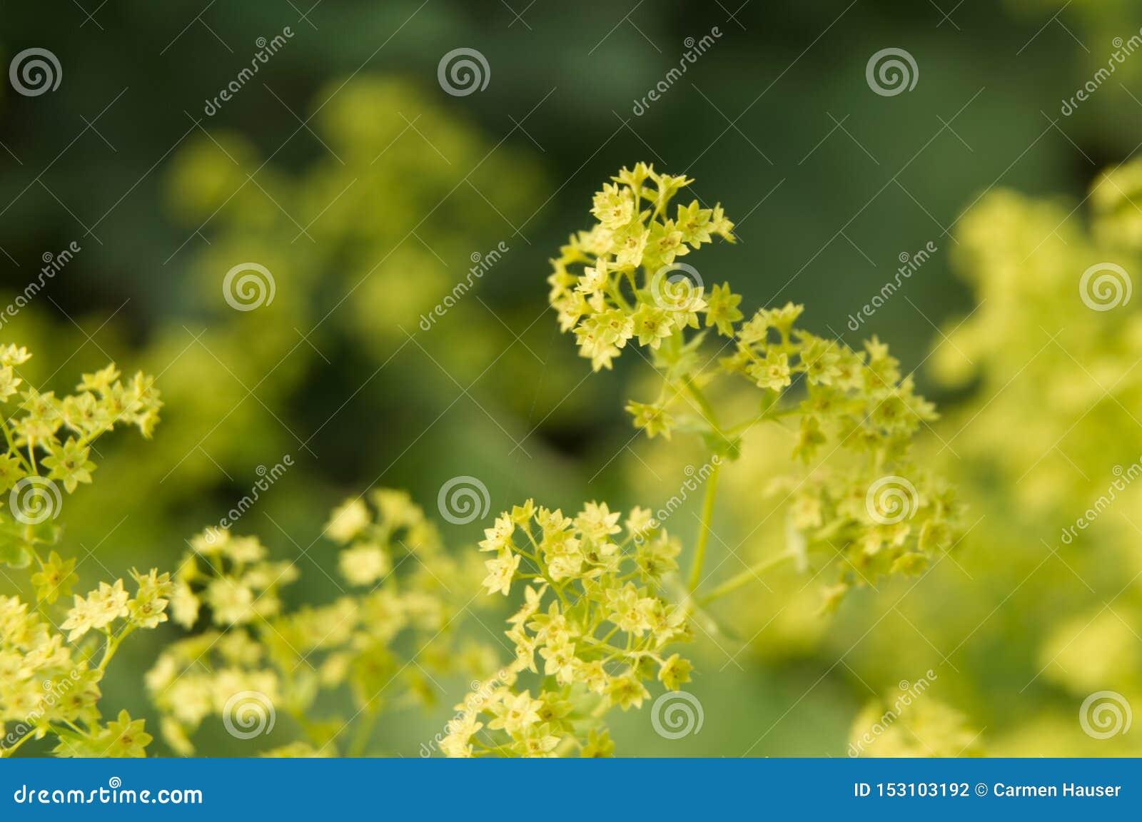Βεραμάν λουλούδια ενός θάμνου γυναικείων s μανδυών
