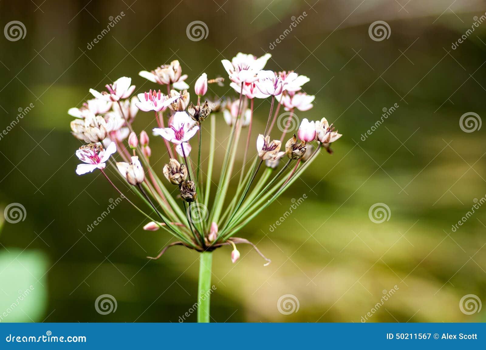 Βιασύνη ανθίσματος πορτρέτου φυτού