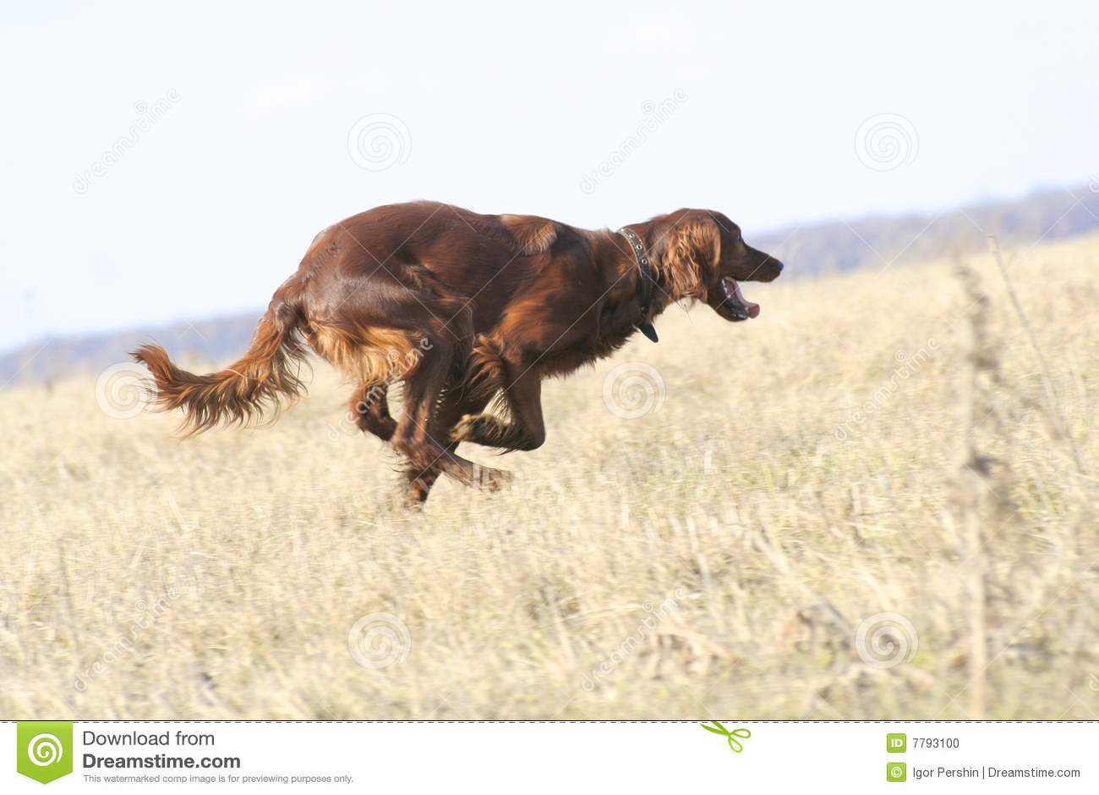 βιασύνη σκυλιών
