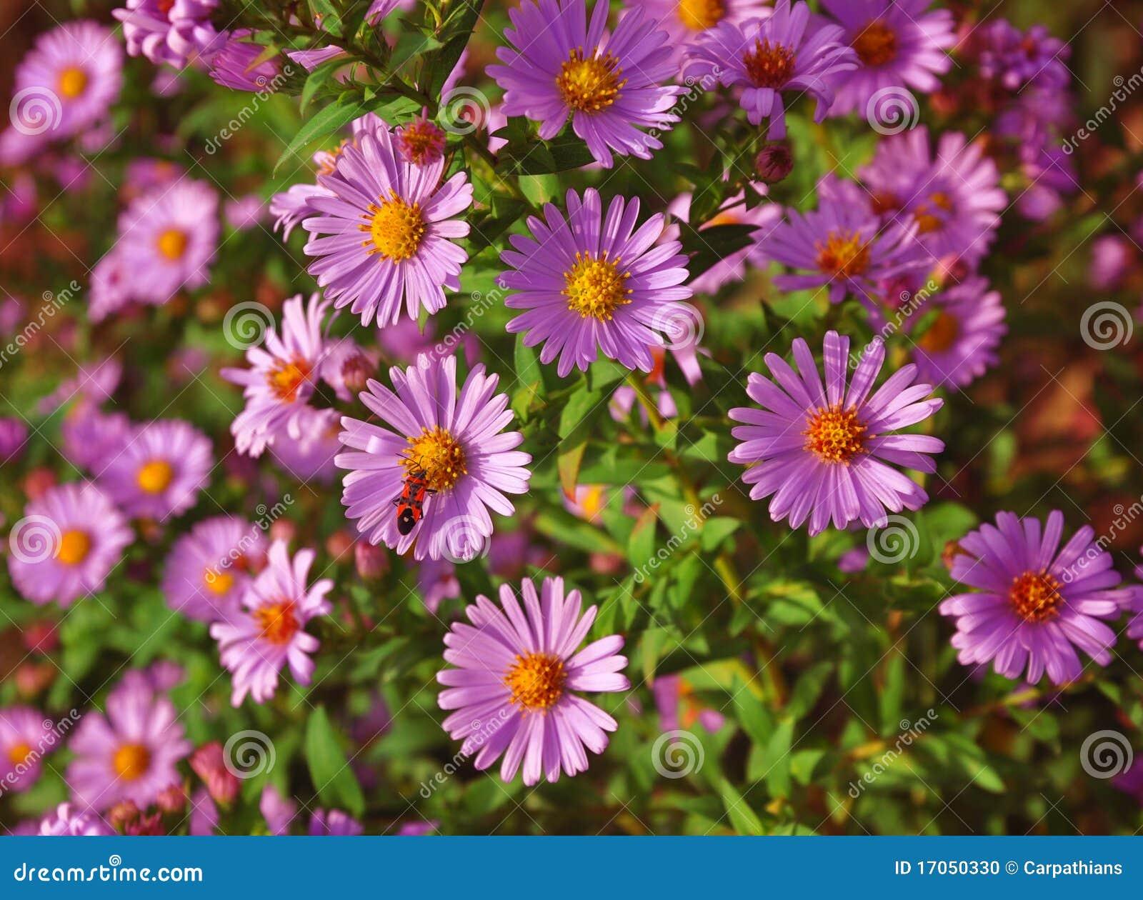 βιολέτα λουλουδιών