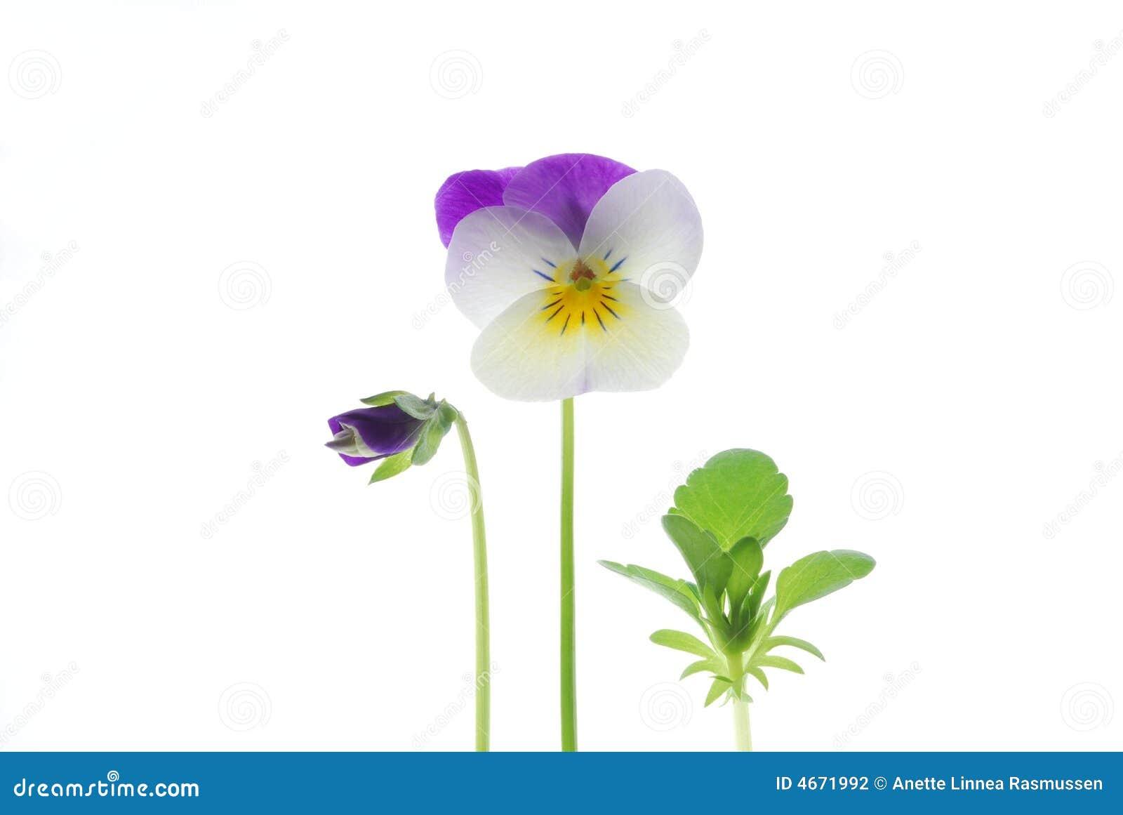 βιολέτα viola tricolor