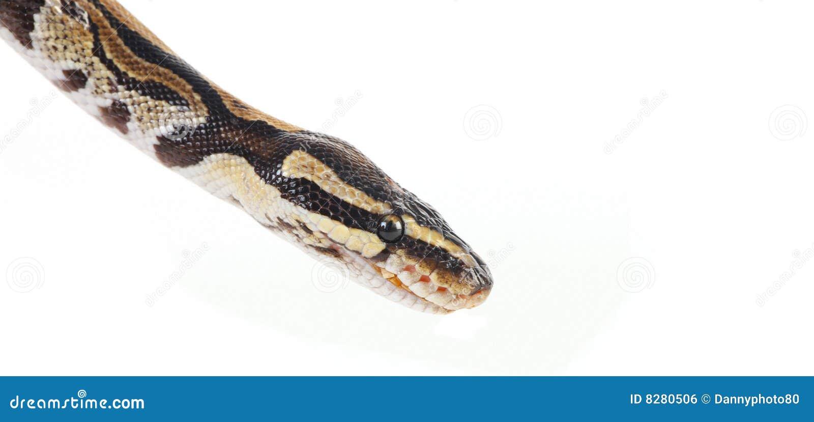 βιρμανός python