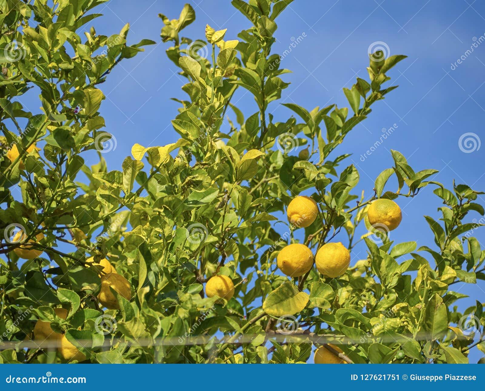 Βλασταημένος ενός δέντρου λεμονιών σε μια ηλιόλουστη ημέρα