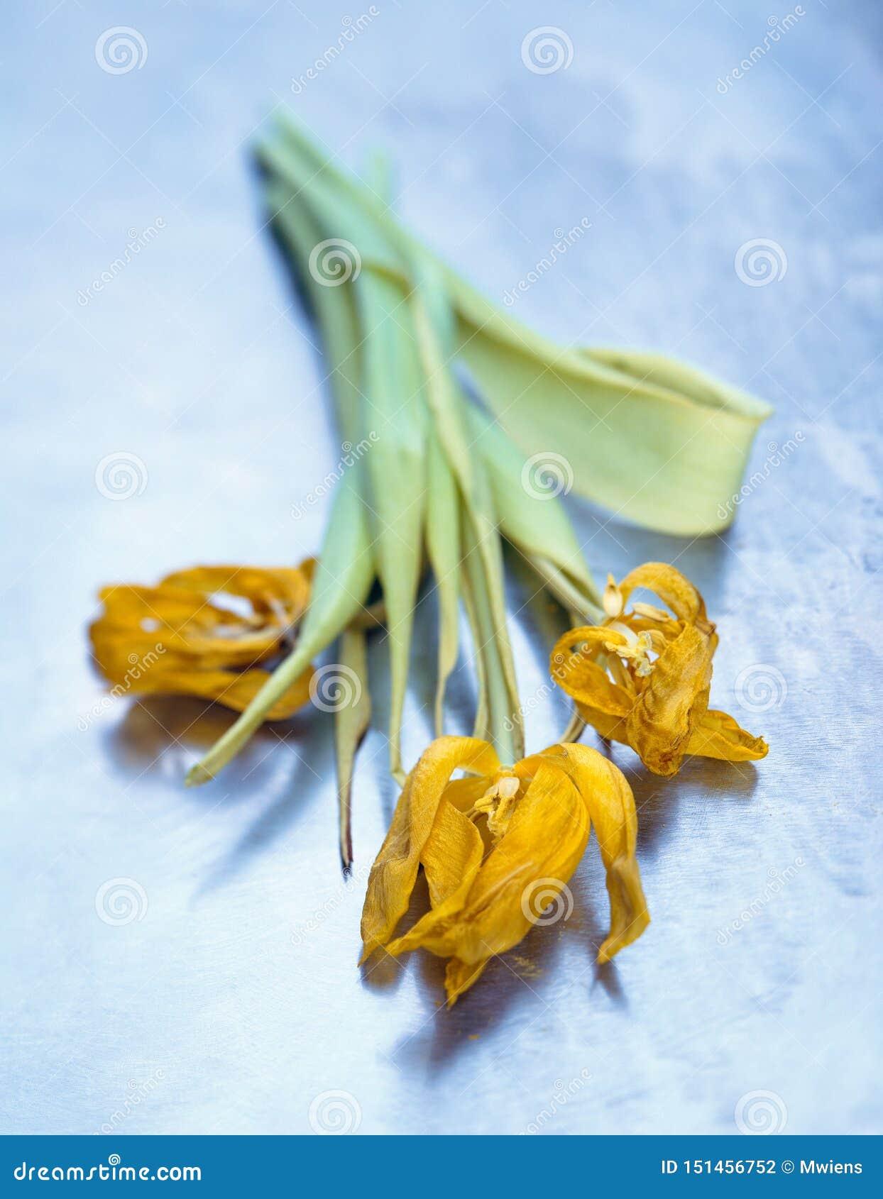 Βλαστημένες κίτρινες τουλίπες στην μπλε σύσταση χάλυβα Εννοιολογική όμορφη γήρανση
