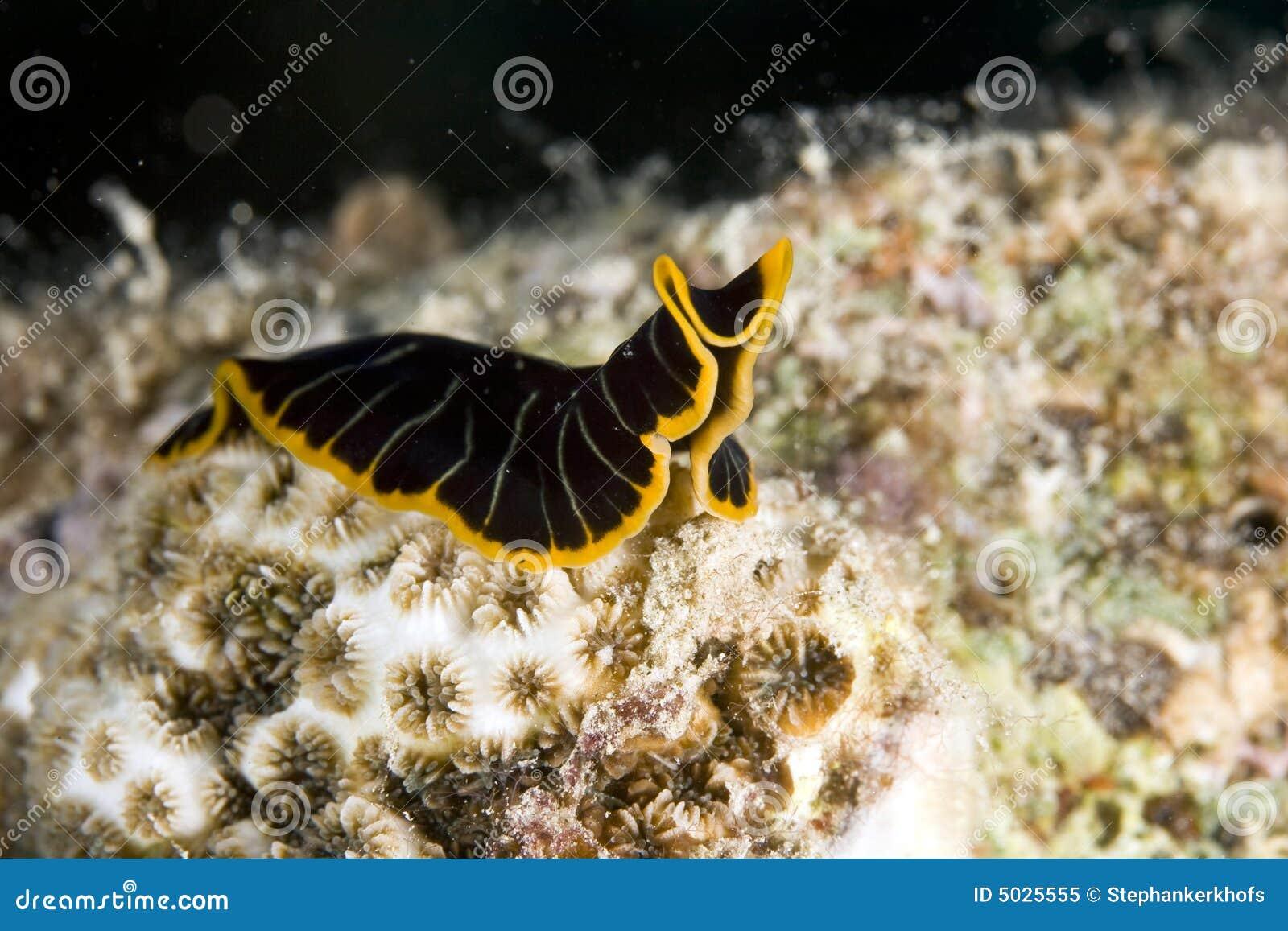 βλ. τίγρη pseudoceros dimidiatus flatworm