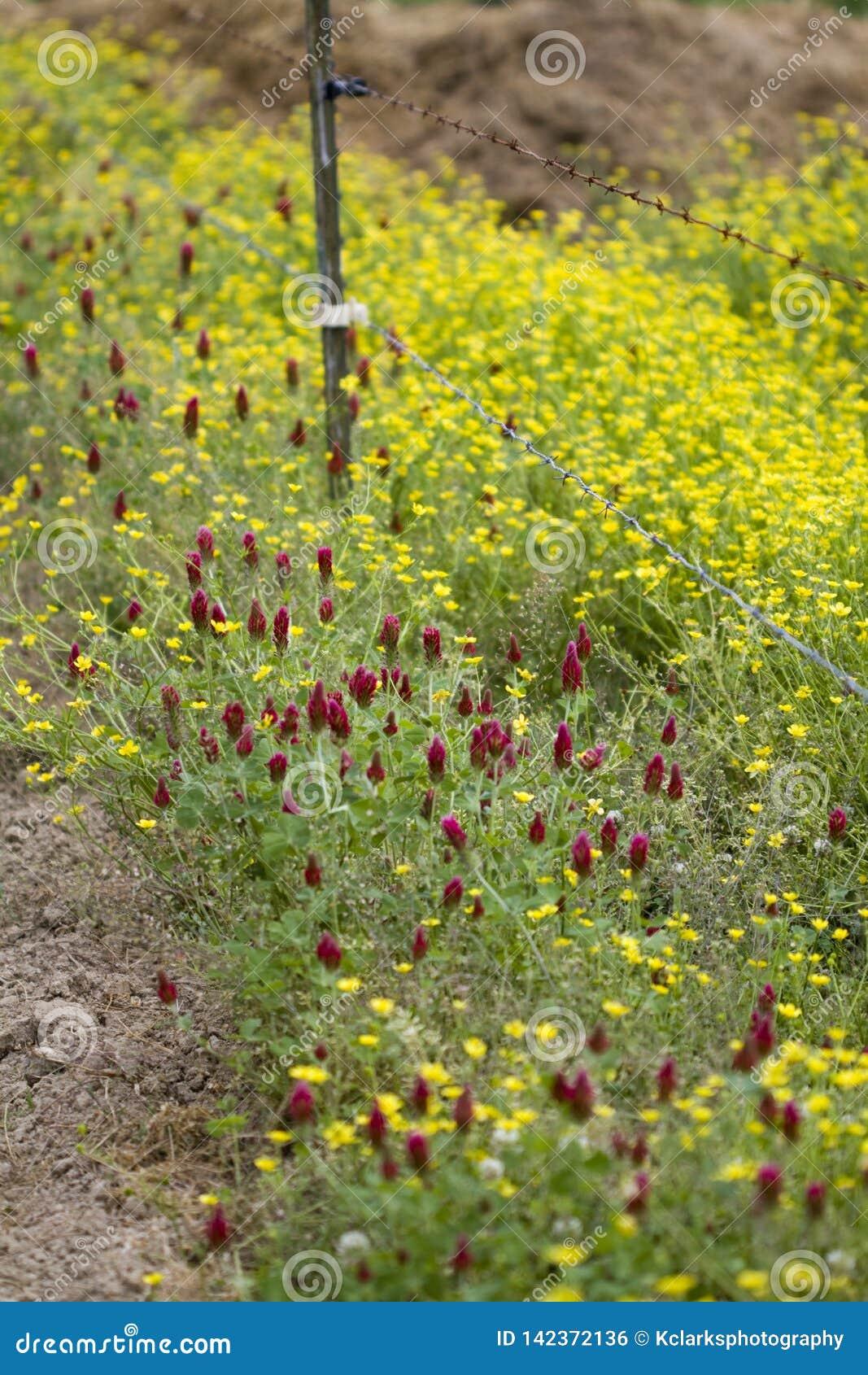 Βολβοειδής νεραγκούλα Wildflowers και πορφυρό τριφύλλι