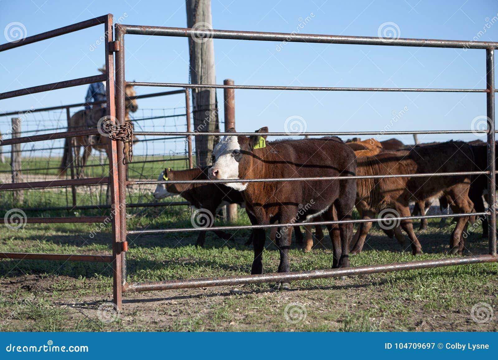 Βοοειδή βοσκής κάουμποϋ οδήγησης πλατών αλόγου