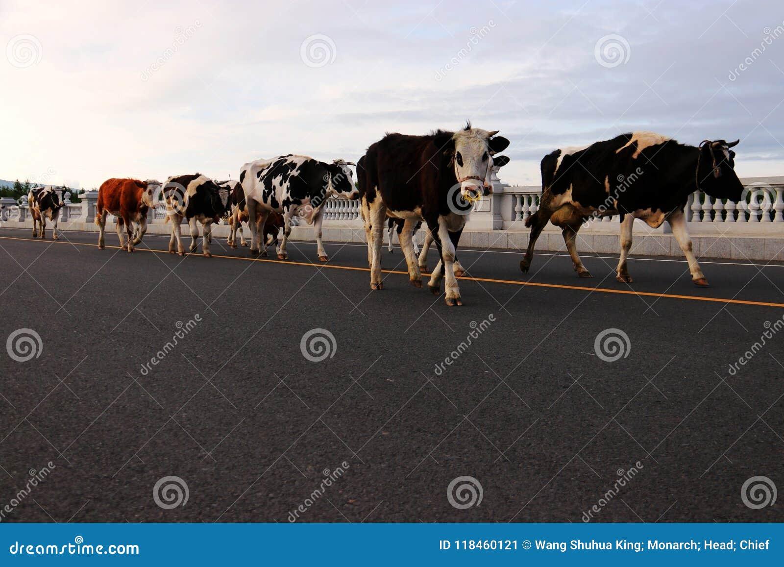 Βοοειδή  βόδι  ένα επώνυμο  moggy  μουγκρητό-αγελάδα