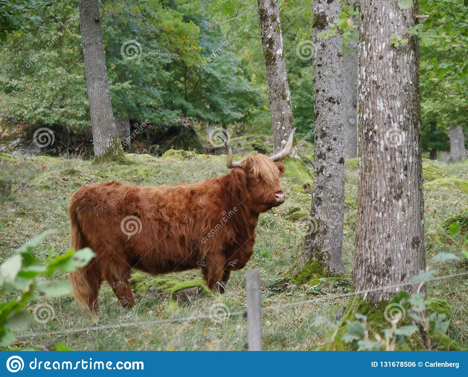 Βοοειδή ορεινών περιοχών που περπατούν στη φύση