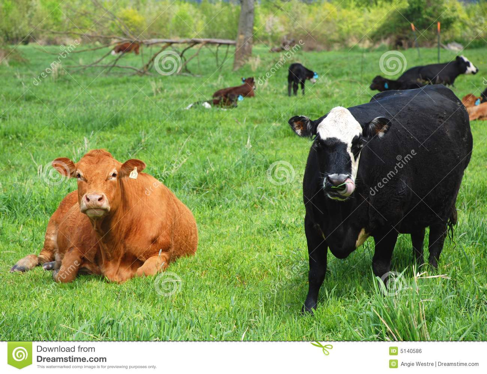βοοειδή