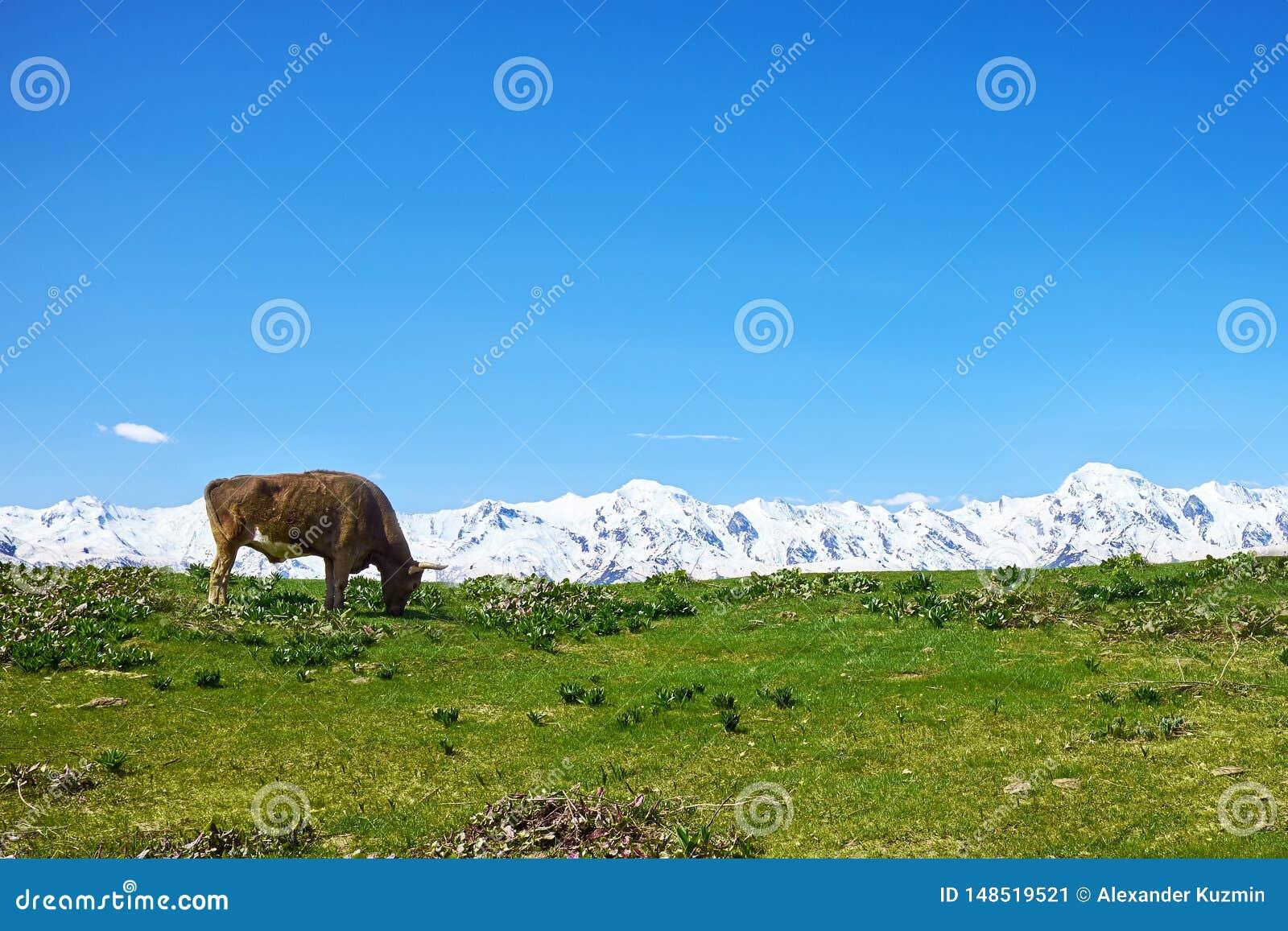 Βοσκή αγελάδων σε ένα πράσινο λιβάδι ενάντια στα άσπρα βουνά