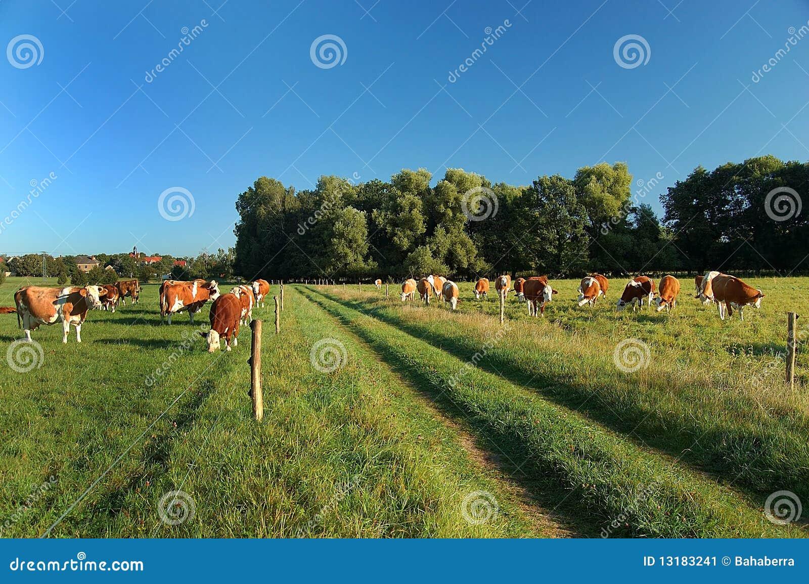 βοσκή μονοπατιών αγελάδ&omega